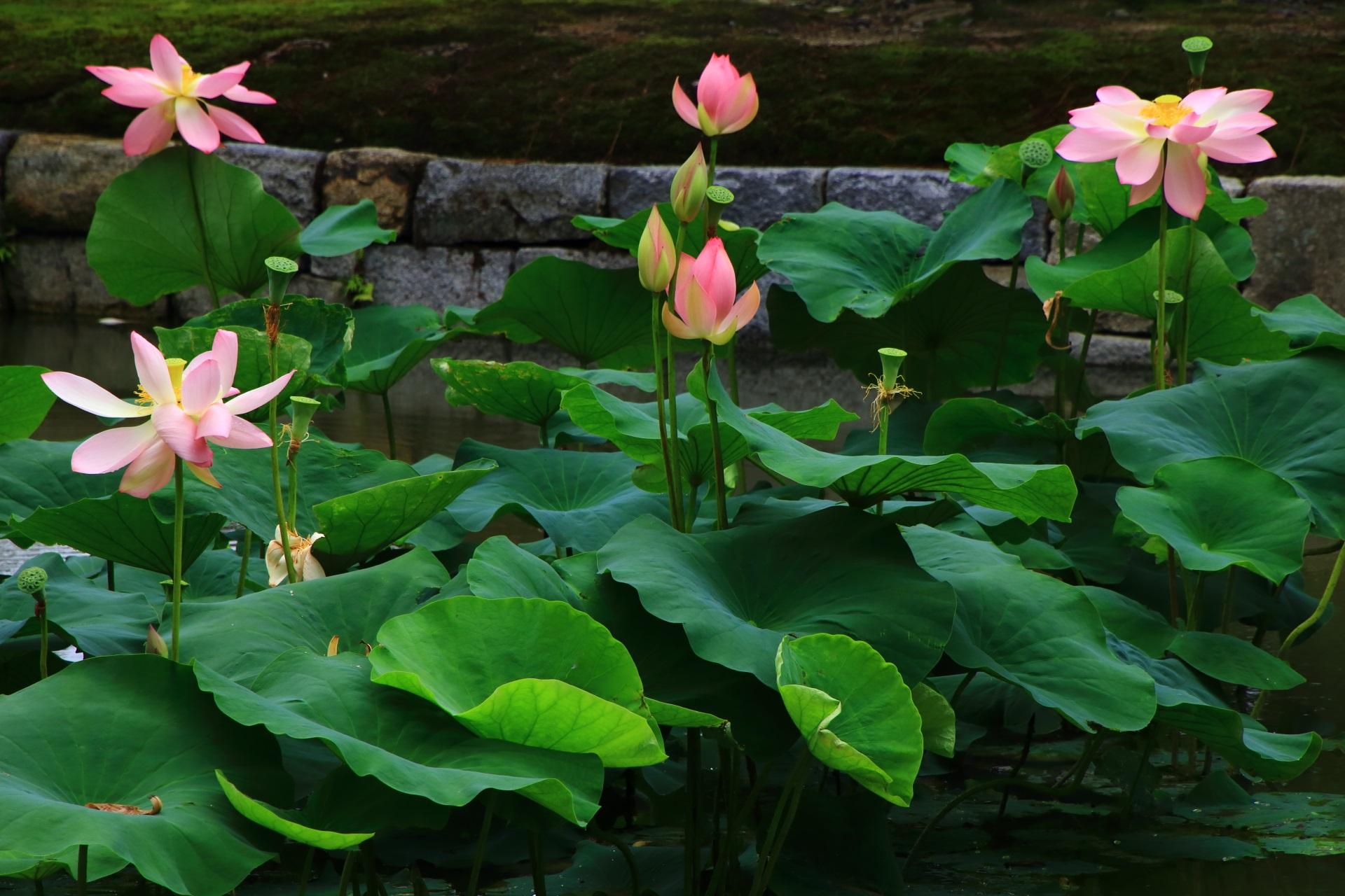 建仁寺の素晴らしい蓮と落ち着いた夏の情景