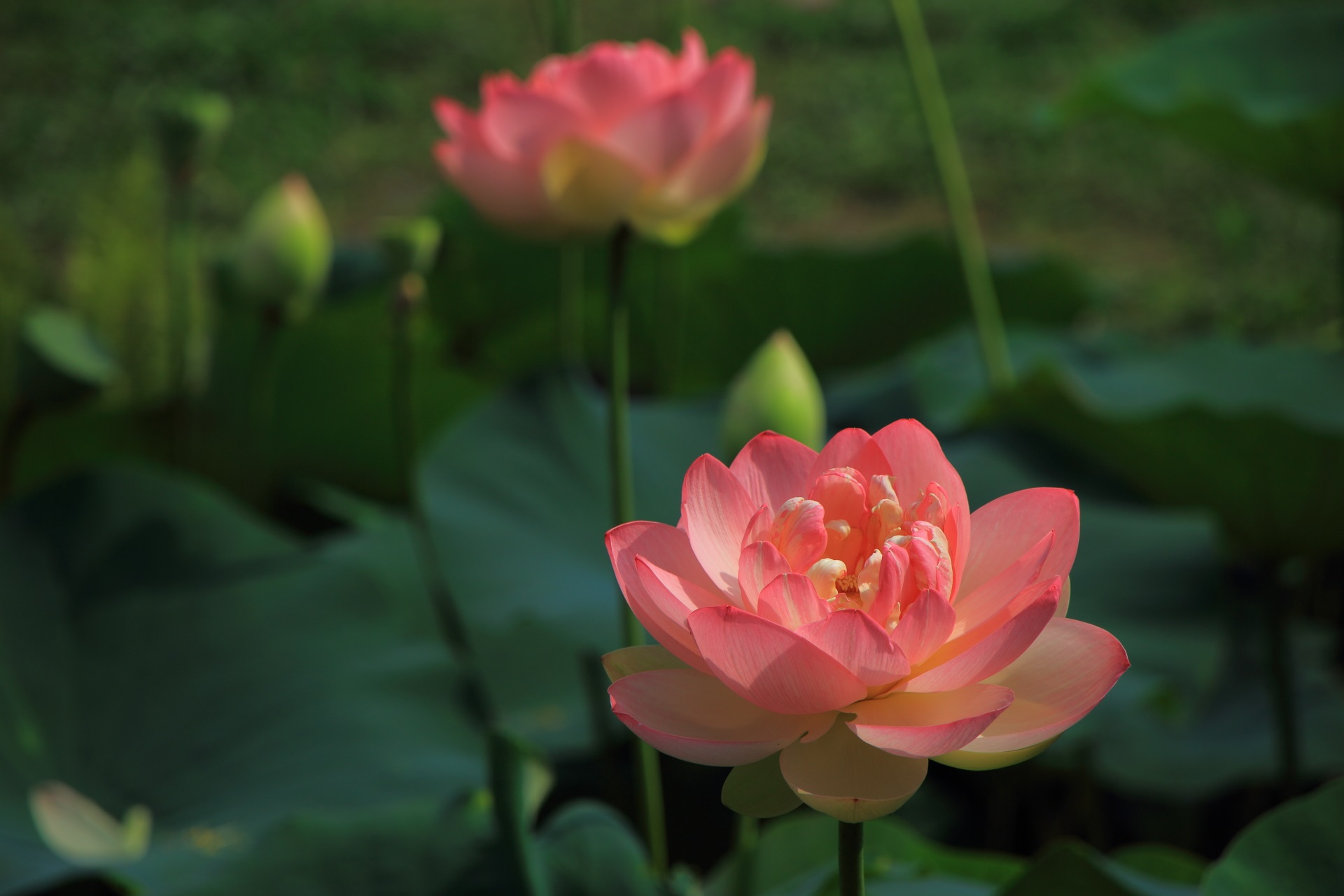 智積院の柔らかな色合いの絶妙なピンクのはすの花