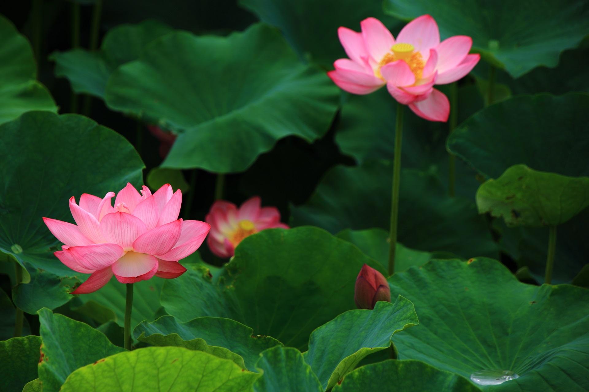 ふわりふわりと浮かんで行きそうな幻想的な蓮の花