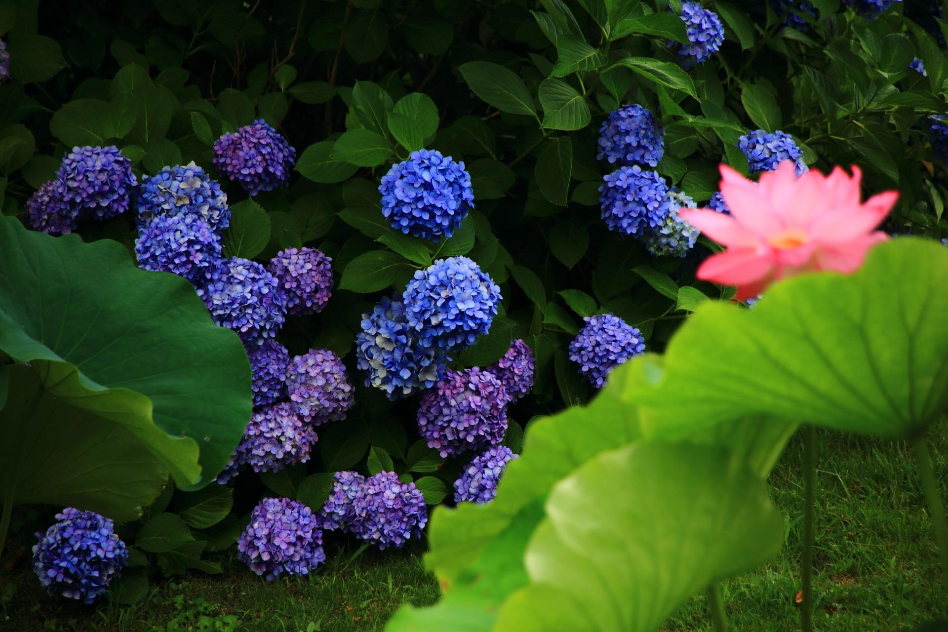 東寺の目を引くような艶やかな青色の綺麗な紫陽花と蓮