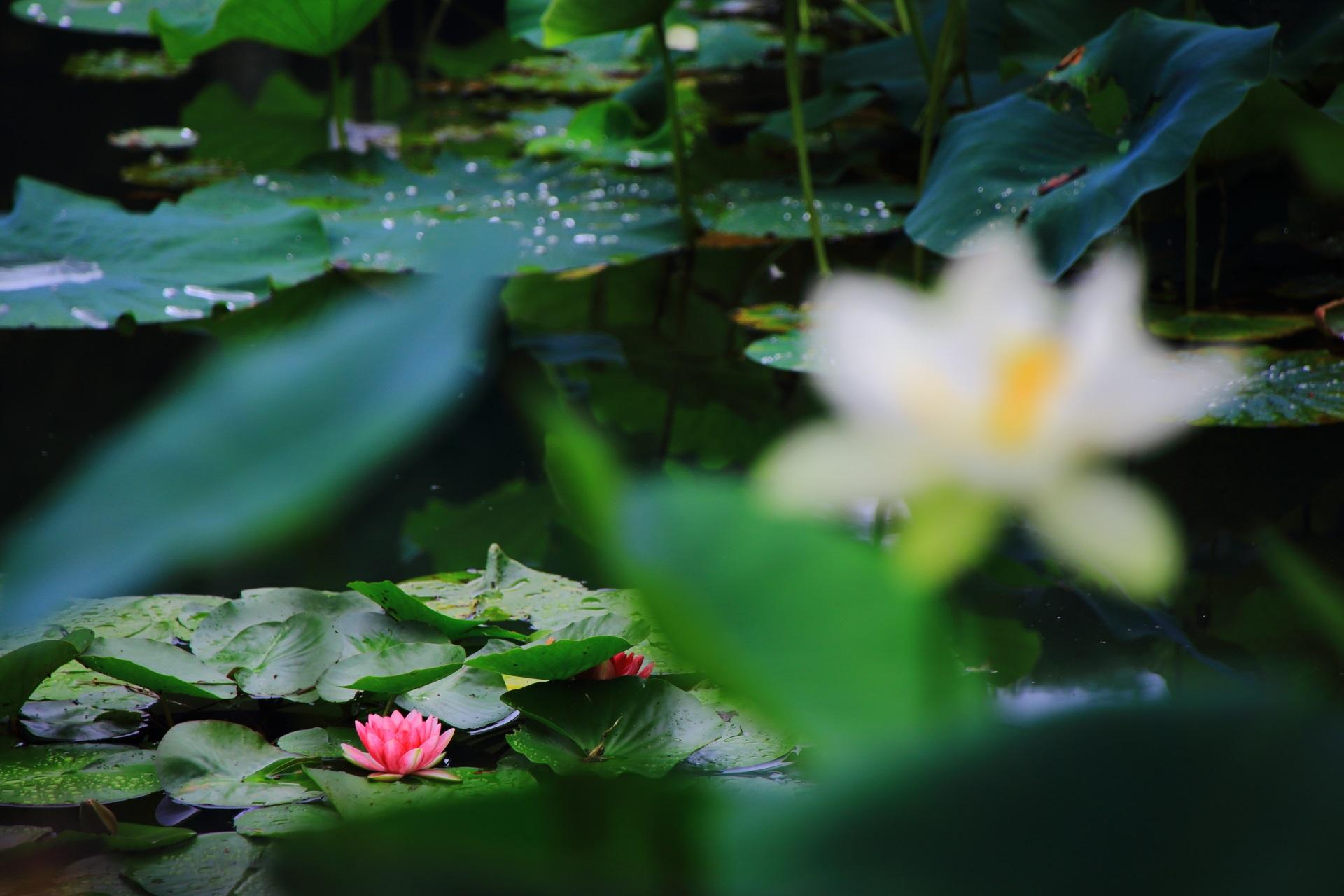 淡くぼやけた蓮の花と鮮やかな睡蓮