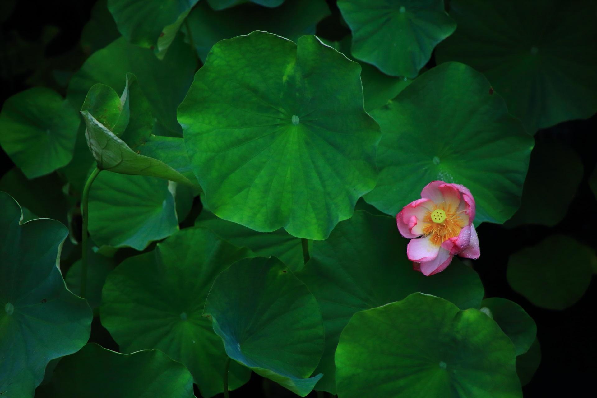 大谷本廟の池の蓮の葉の深い緑の中で映える鮮やかなピンクの花