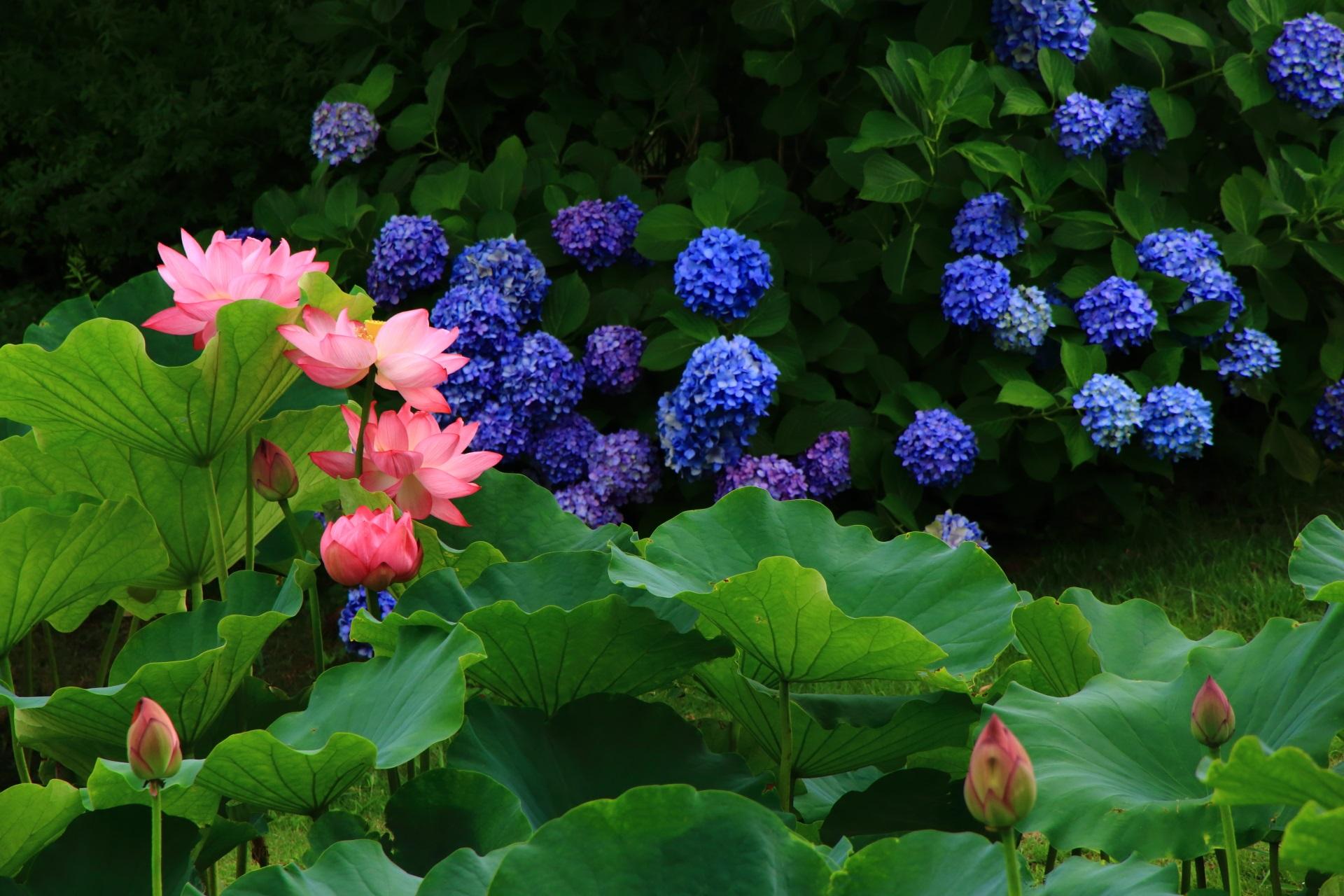 落ち着きの中にも華やかさのある鮮やかなブルーの紫陽花とピンクの蓮