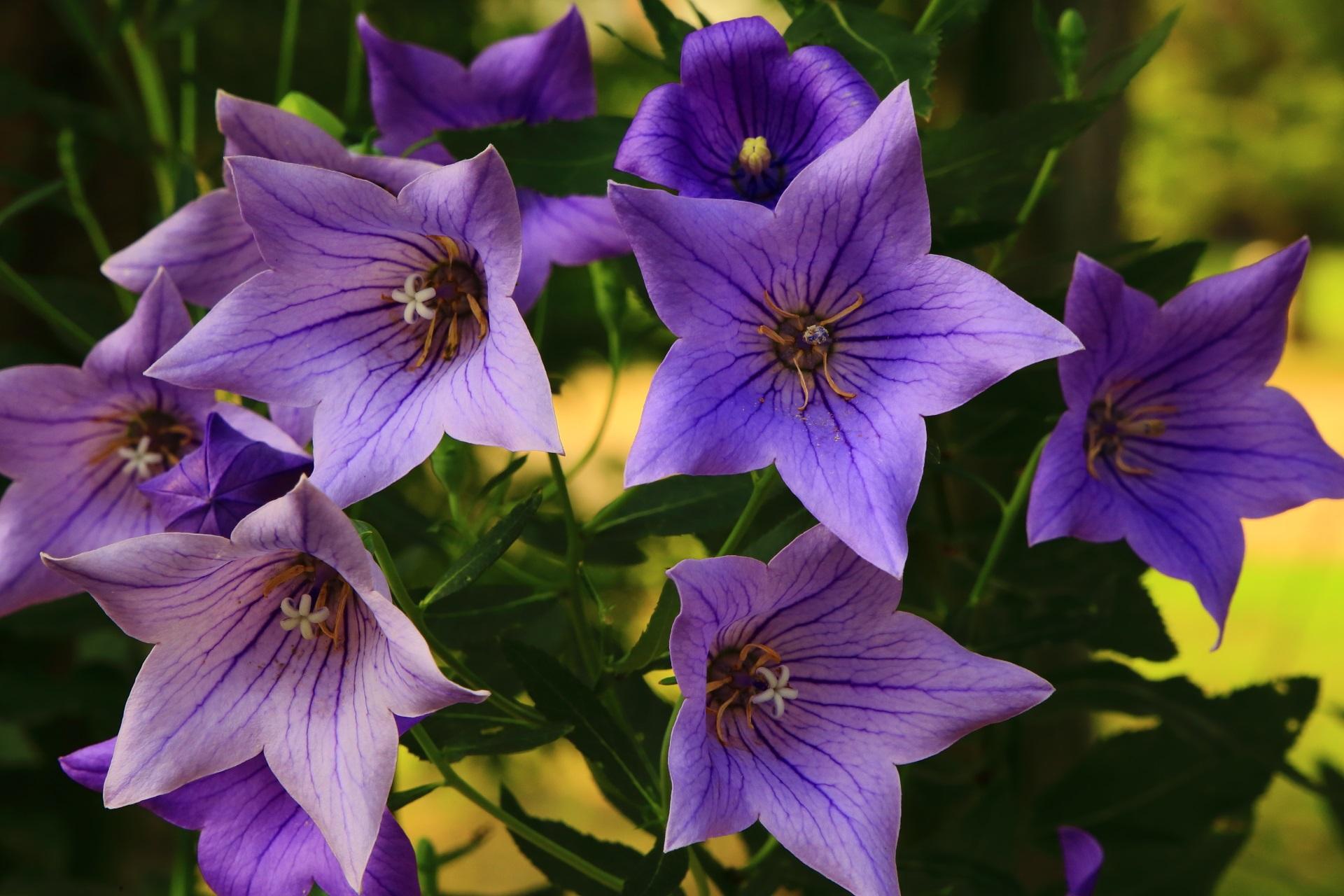 暑さにも負けず花びらをいっぱいに広げる智積院の桔梗の花