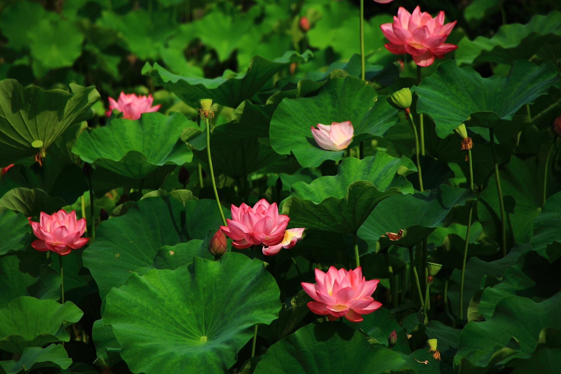光が当たって煌びやかな蓮の花