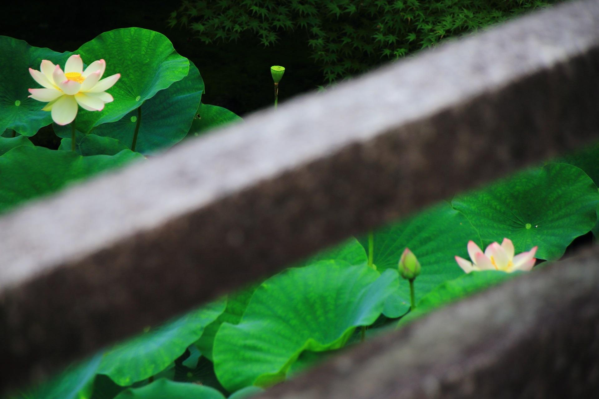 石橋の欄干から眺めた蓮の花