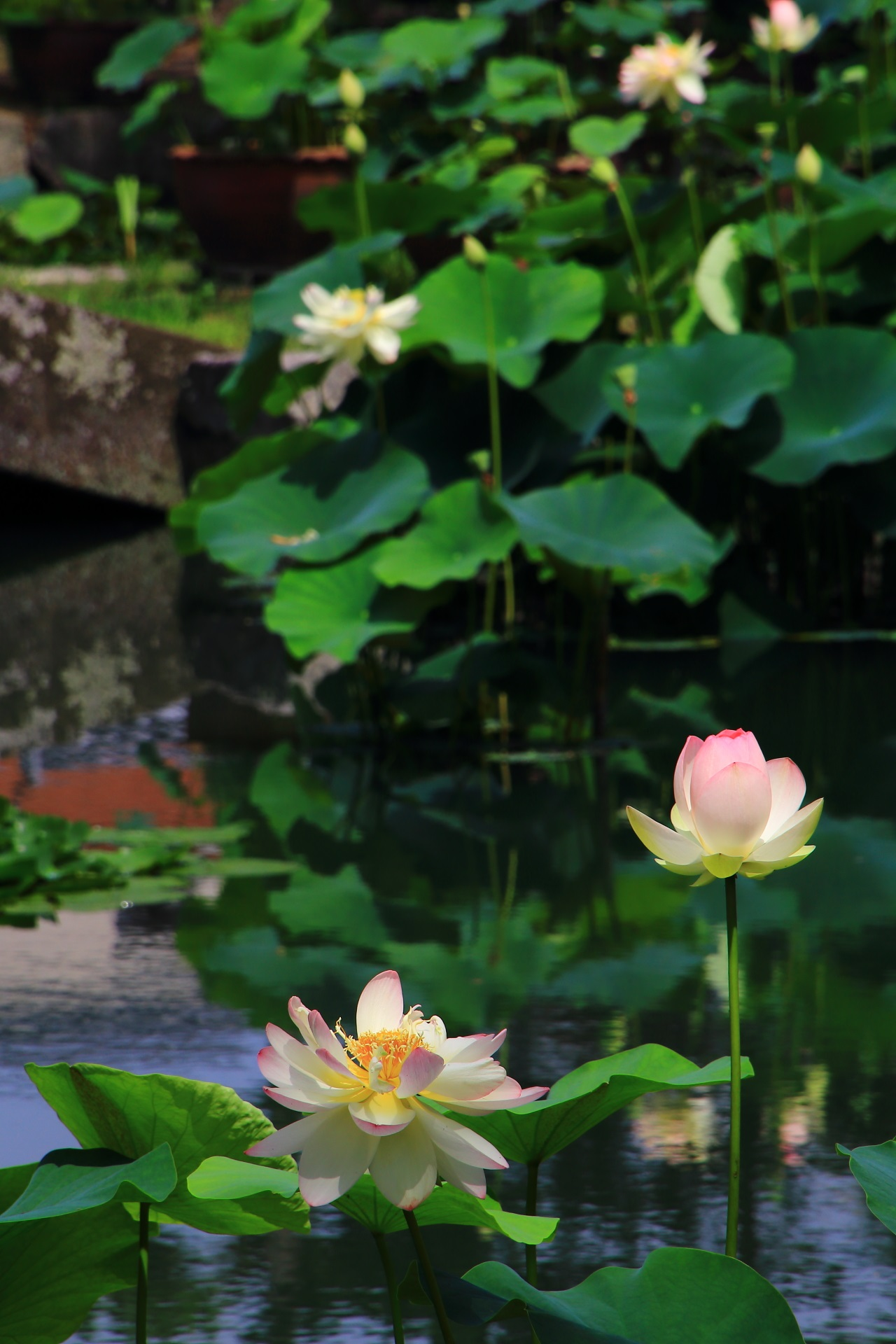 Gorgeous lotus flowers at Shokoku-ji Temple in Kyoto,Japan