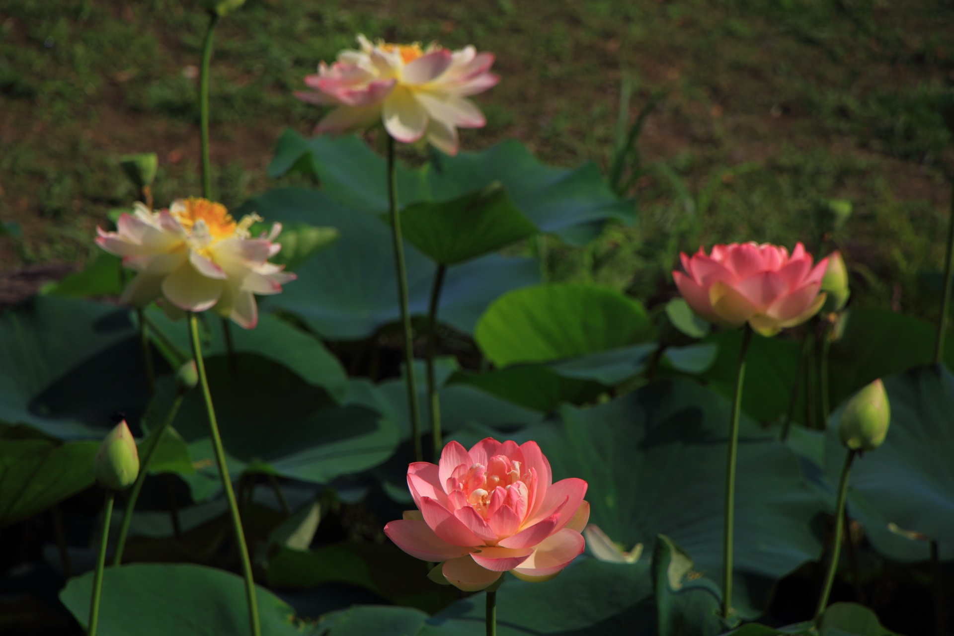 智積院の明るく可愛いピンクの蓮の花