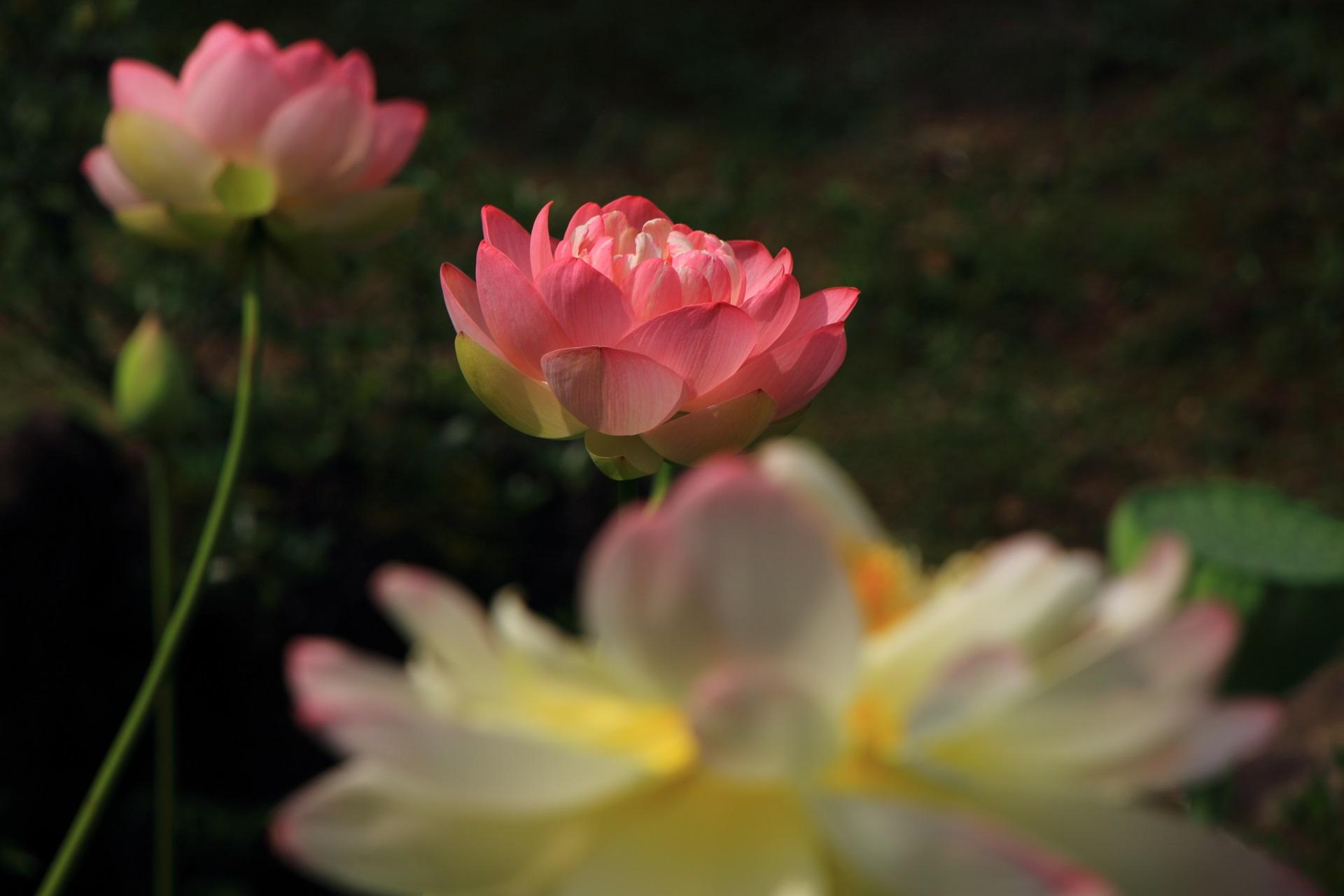 日差しが強くなるとほのかに光る素晴らしいハスの花