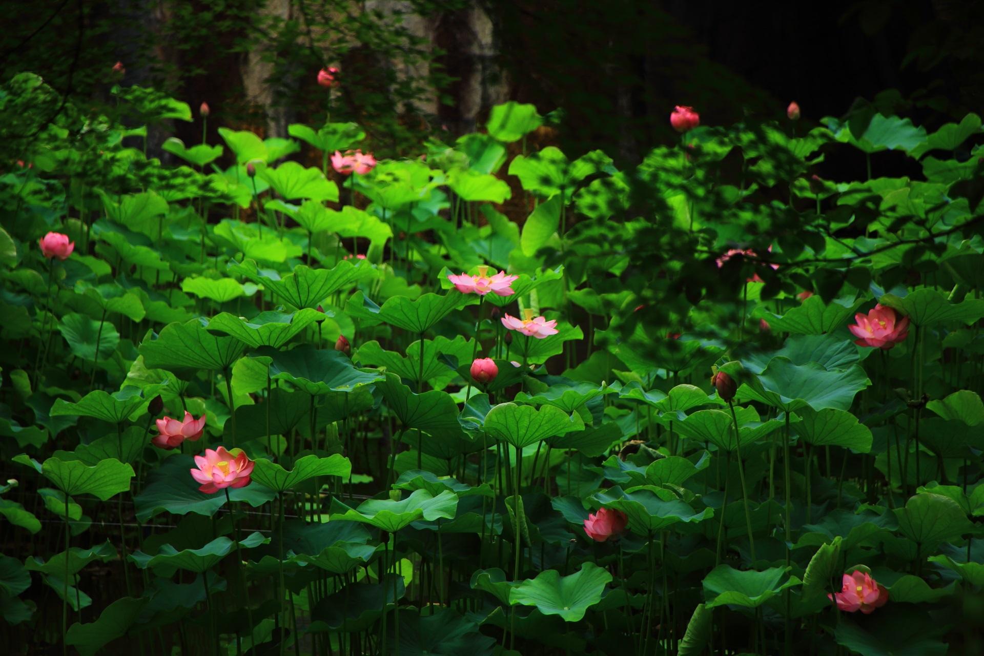 大谷本廟の満開の蓮の花