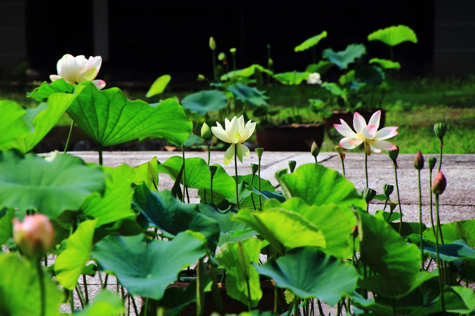 相国寺の勅使門前(勅使門と法堂の間)にある蓮池の放生池