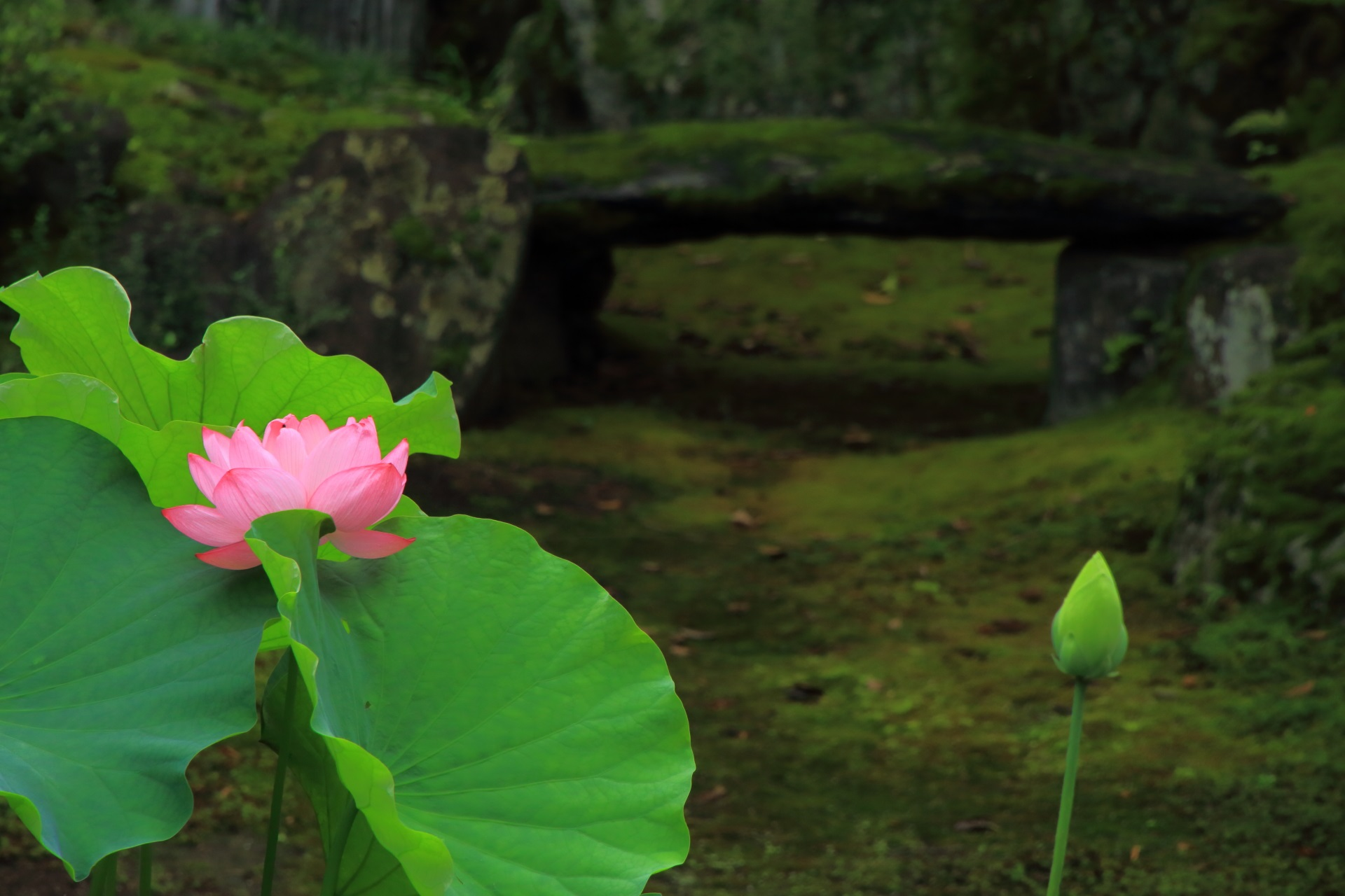 Lotus flower of Honpoji-Temple in Kyoto,Japan