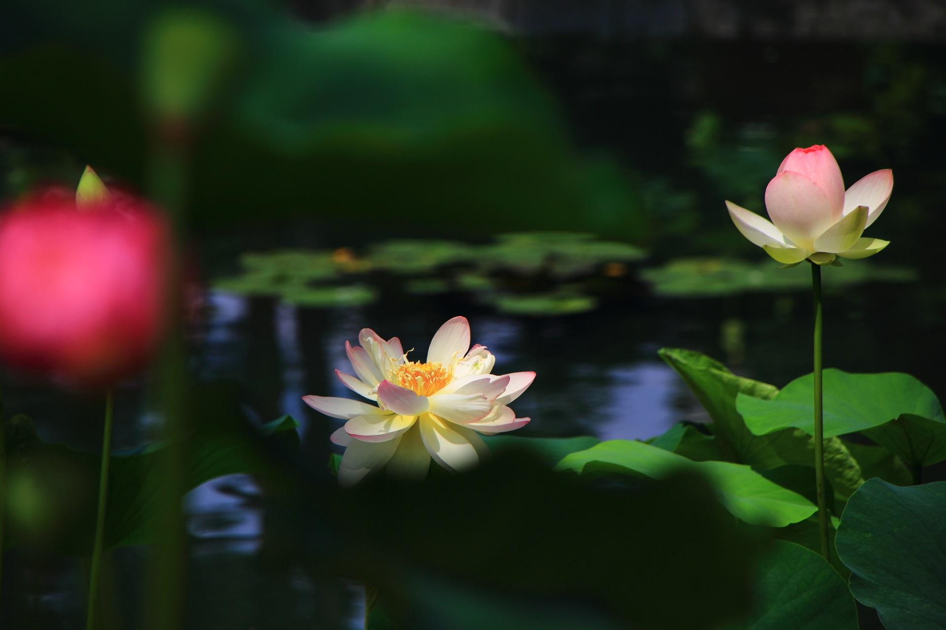 相国寺の夏の絵になる蓮の情景