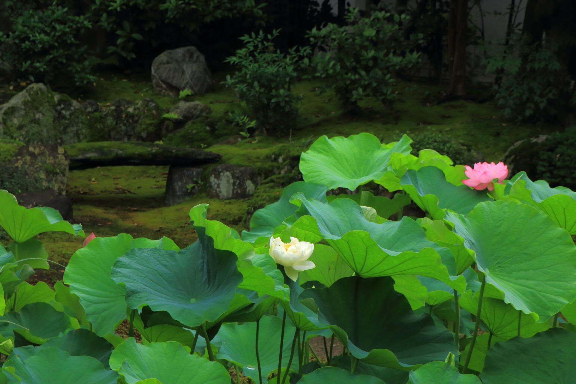 本法寺の華やかでおめでたい色合いの紅白の蓮の花