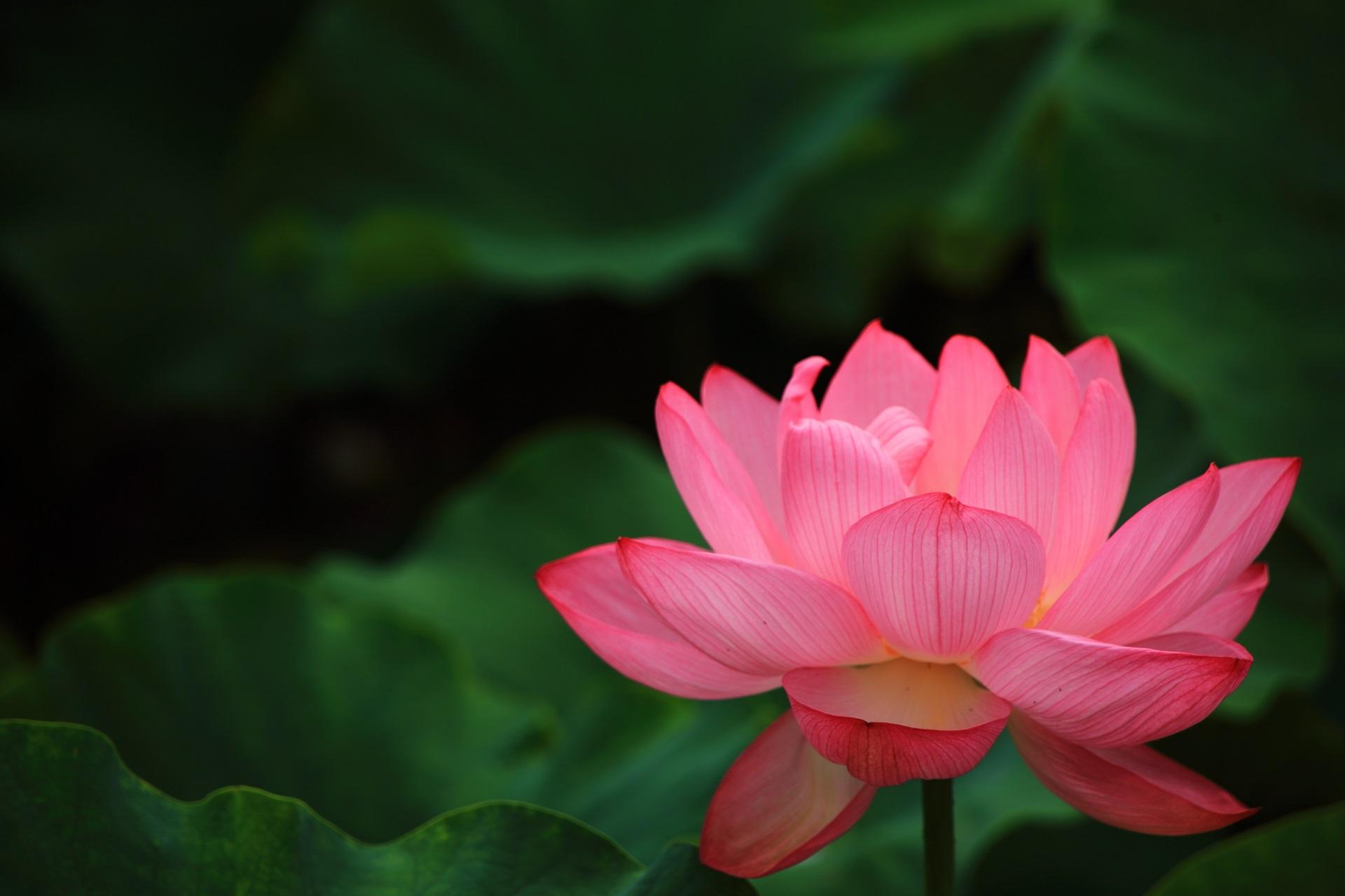 花びら一枚一枚は非常に繊細で人間では作り出せない芸術的な蓮の花