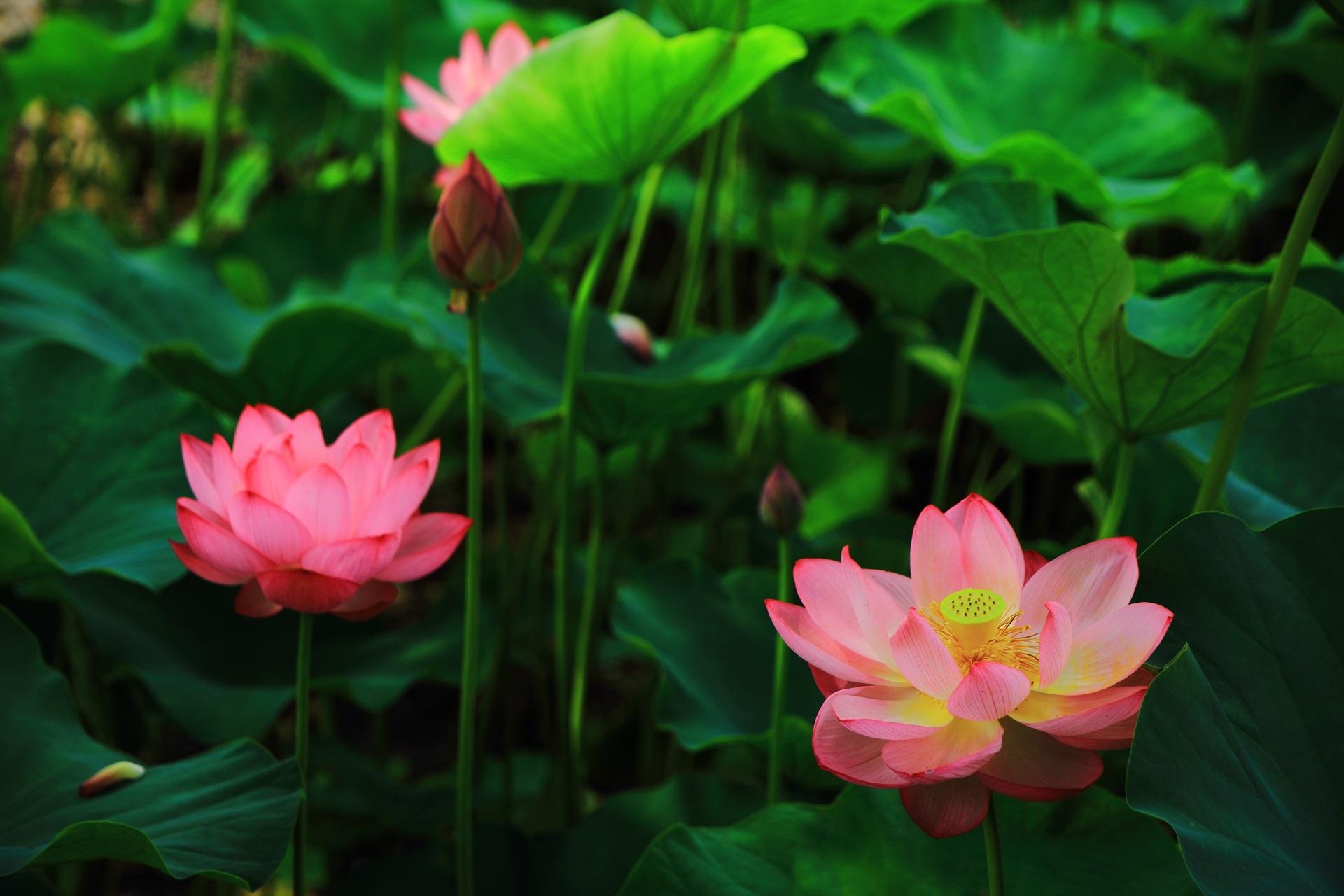 Fantastic lotus flower at Nanzenji-Temple in Kyoto,Japan