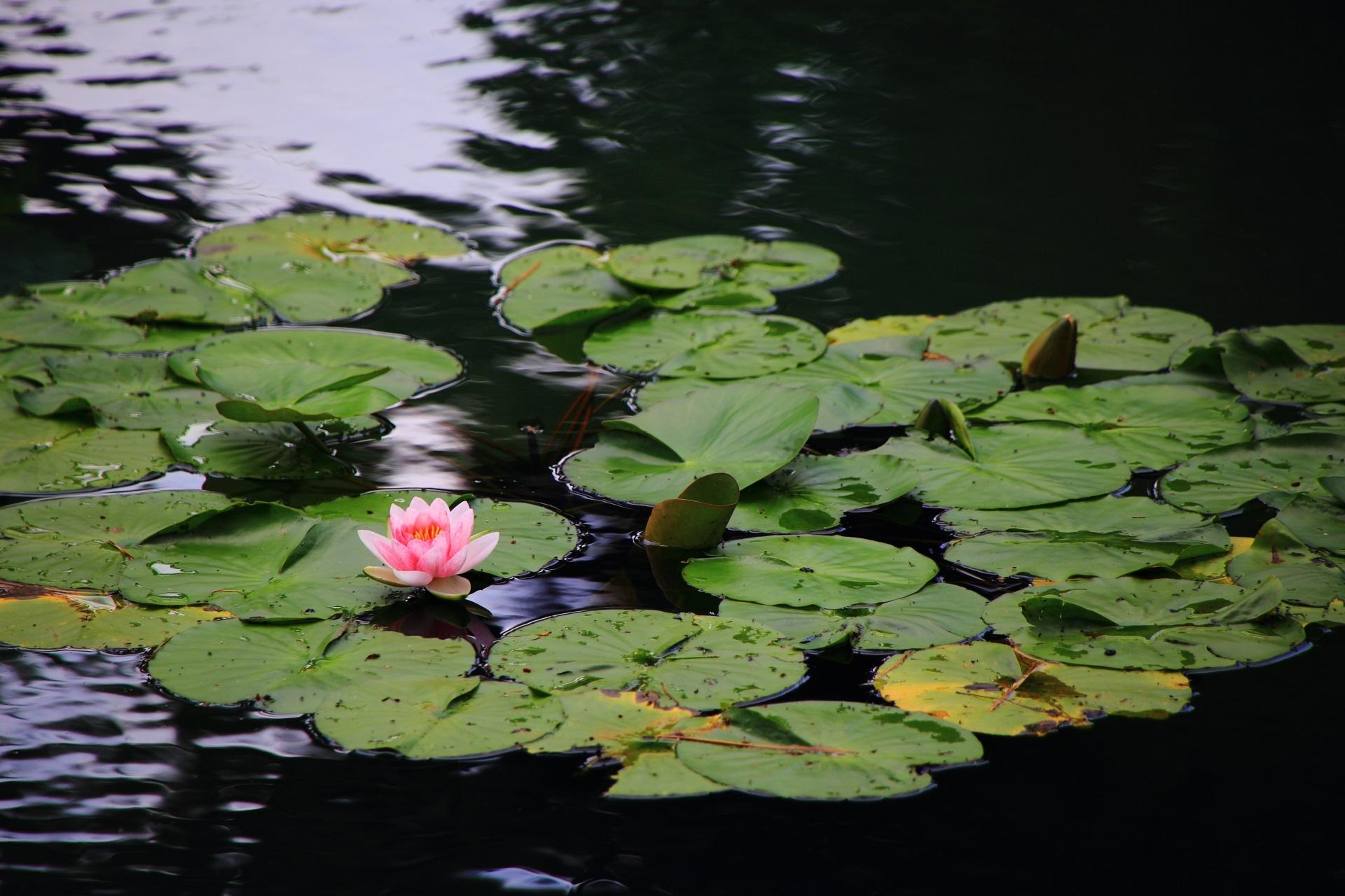 相国寺の可愛らしい睡蓮(スイレン)