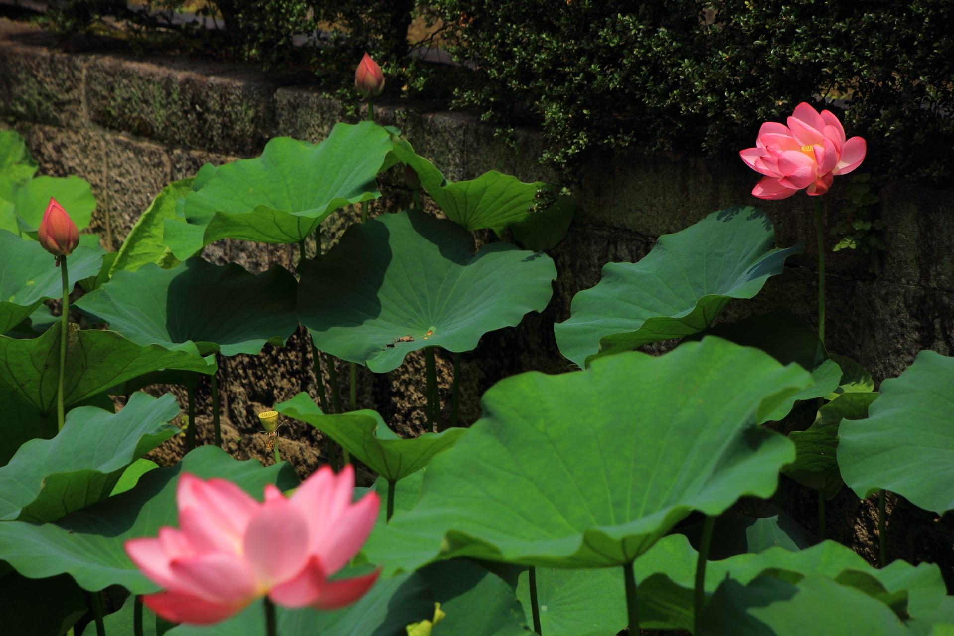 日が差すと雰囲気が変わる東本願寺の外堀のハスの花