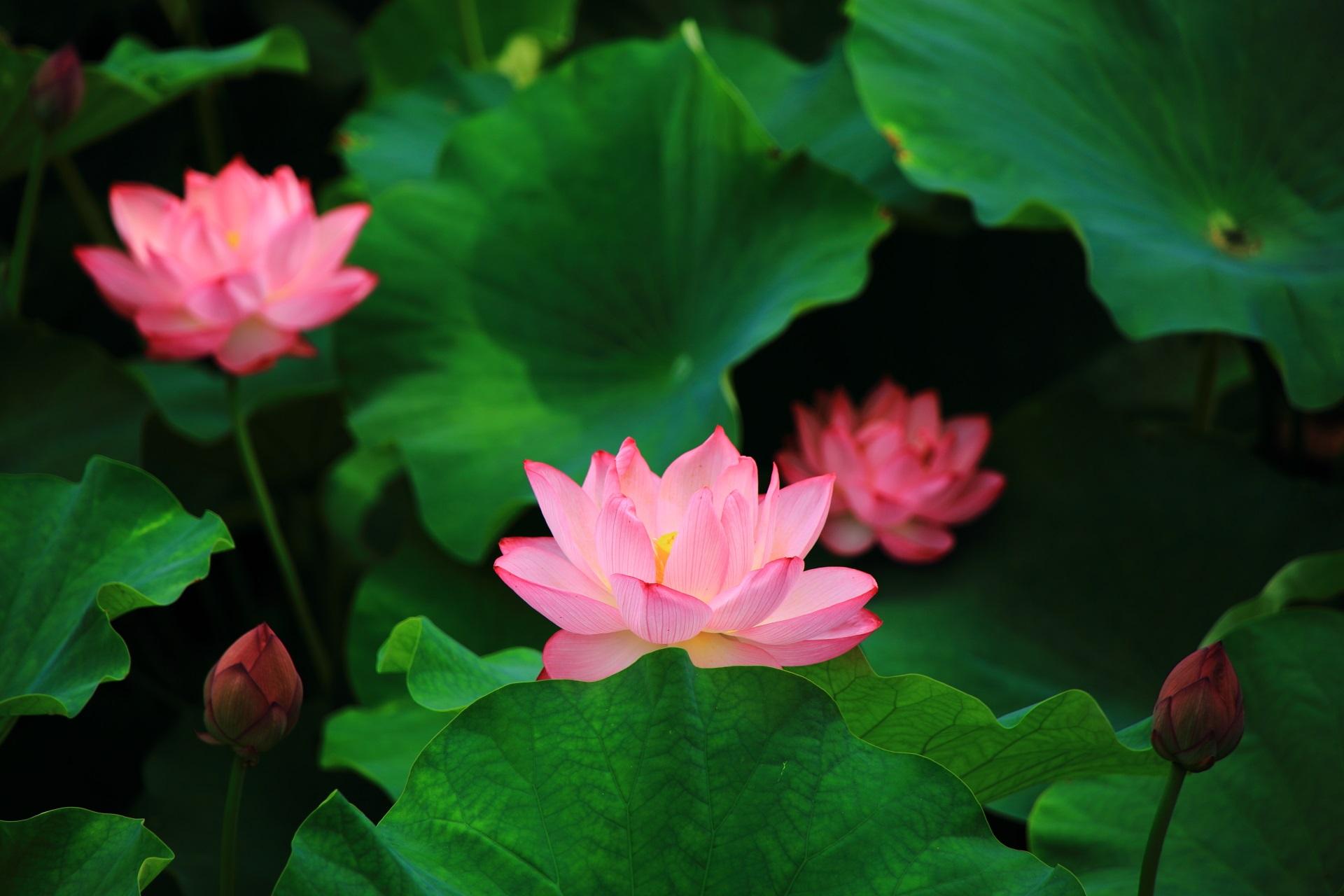 花びら一枚一枚は繊細は蓮の花
