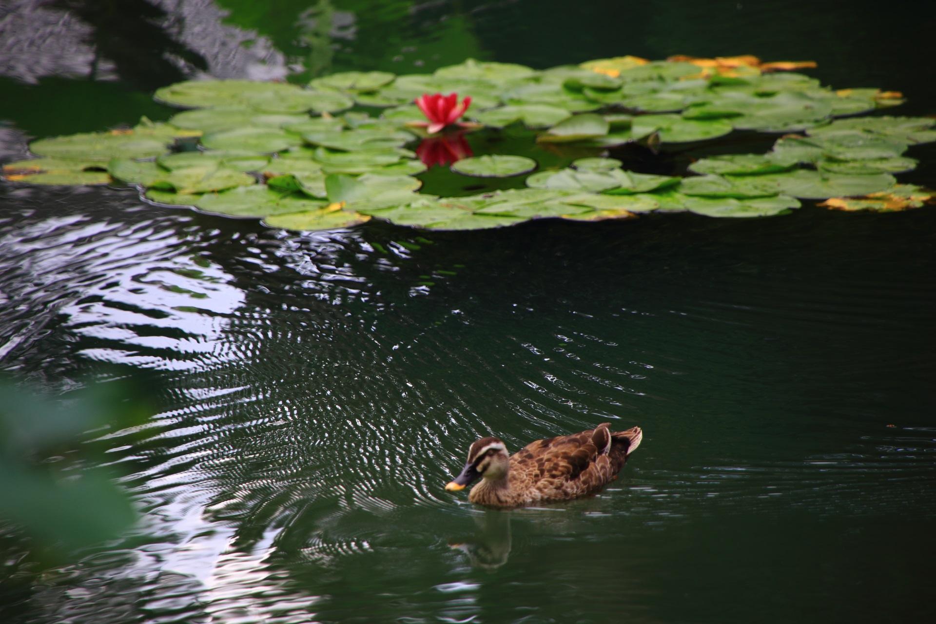 相国寺のスイレンと鴨