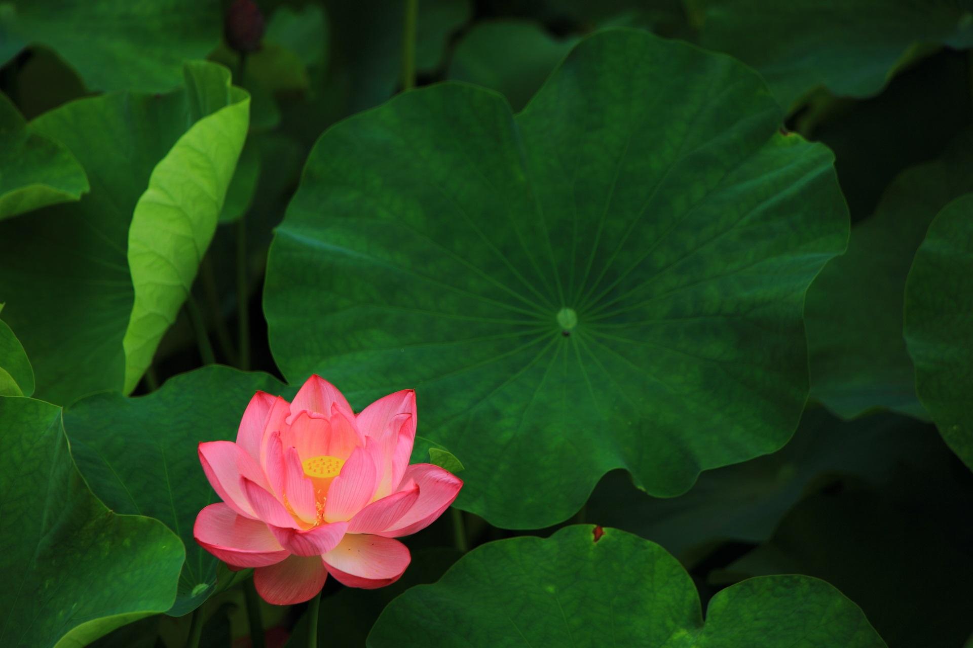 丸く美しい蓮の葉と蓮の花のセット