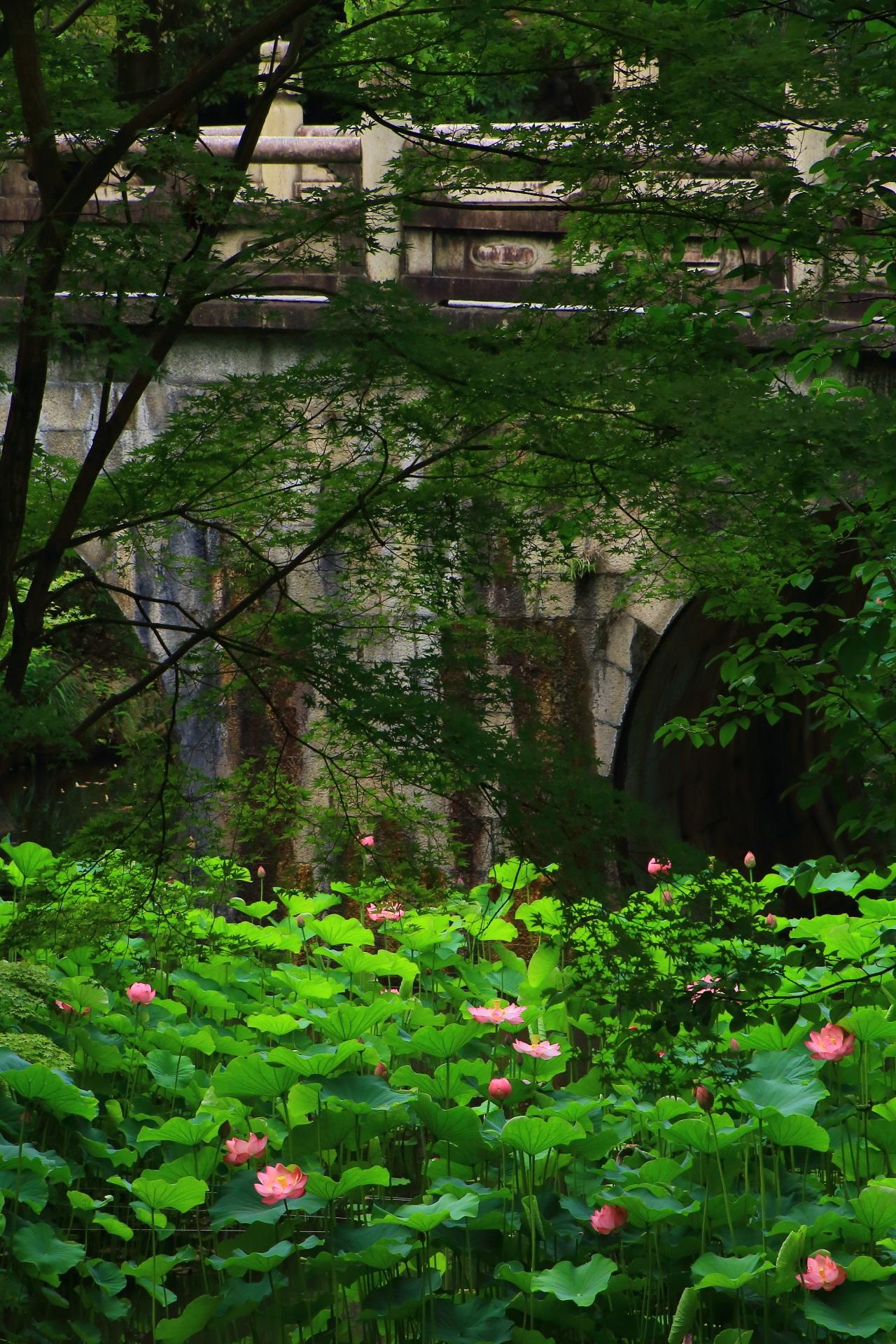 大谷本廟の美しい緑の中で揺らめく幻想的なピンクの蓮の花