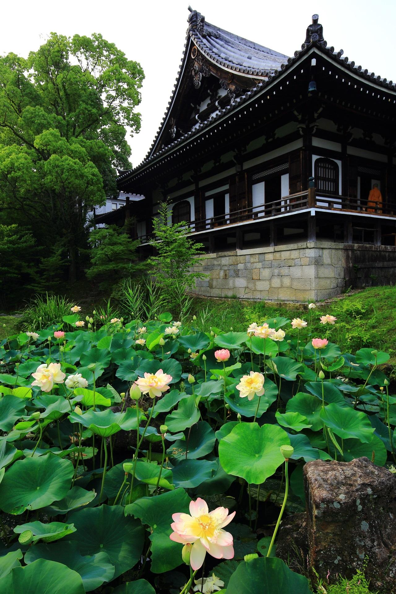 智積院の明王殿と緑の葉が美しさを引き立てる蓮池のハスの花