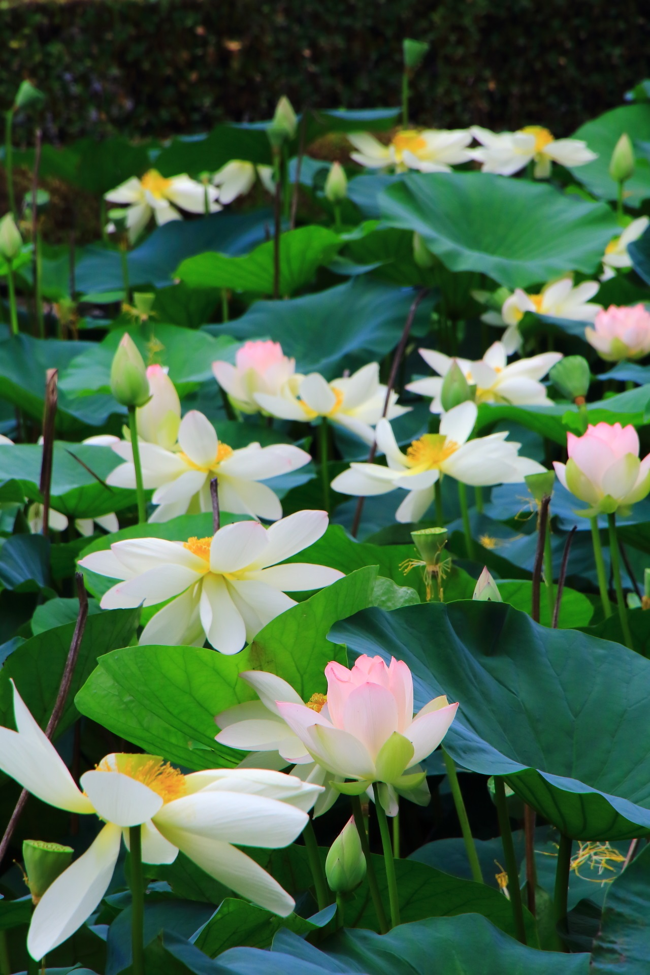 東福寺の咲きすぎの凄い蓮の花