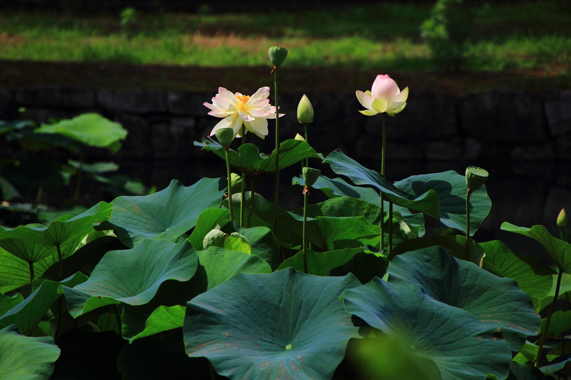 背景や緑の葉に映える相国寺の綺麗なハスの花