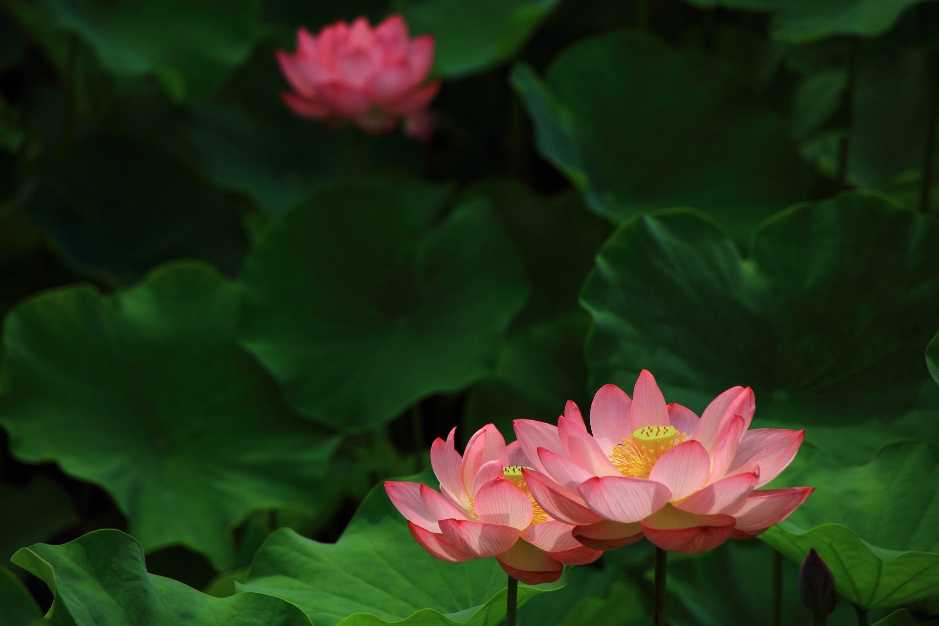 当たり年の美しい蓮の花