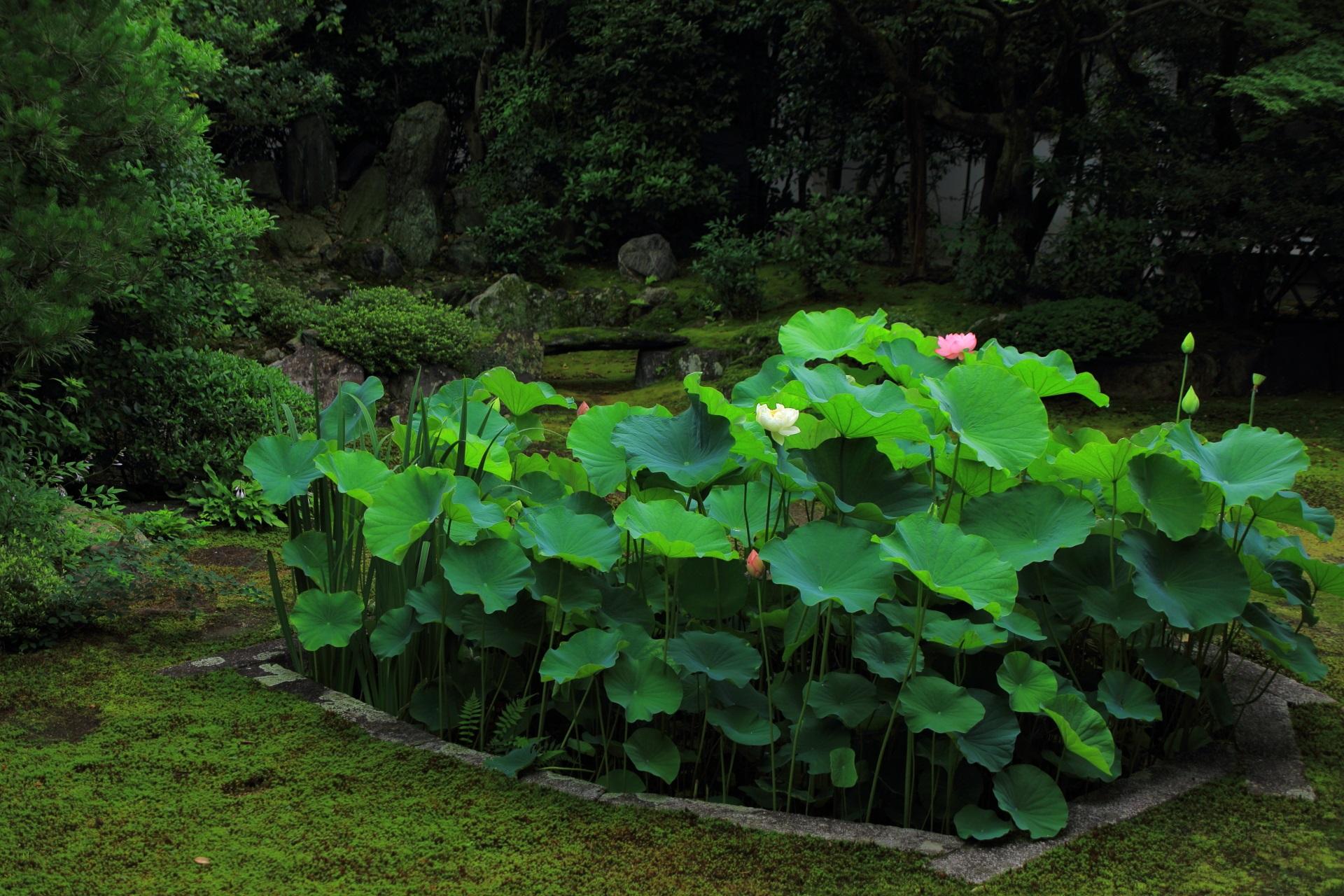 本法寺の素晴らしい庭園と蓮や夏の情景
