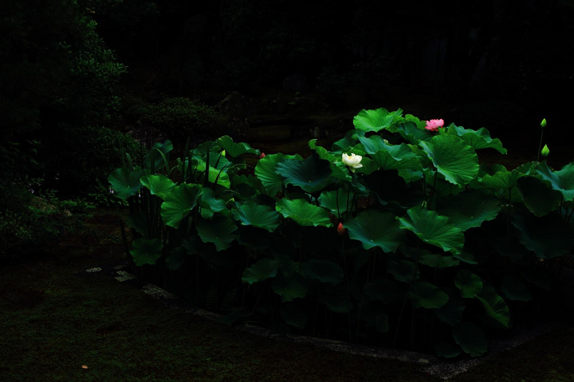 本法寺の巴の庭のコントラスト強めの暗闇の中で光る蓮の花