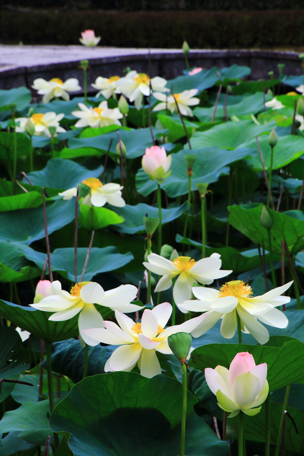 Tofuku-ji Temple in Kyoto where beautiful lotus flowers bloom