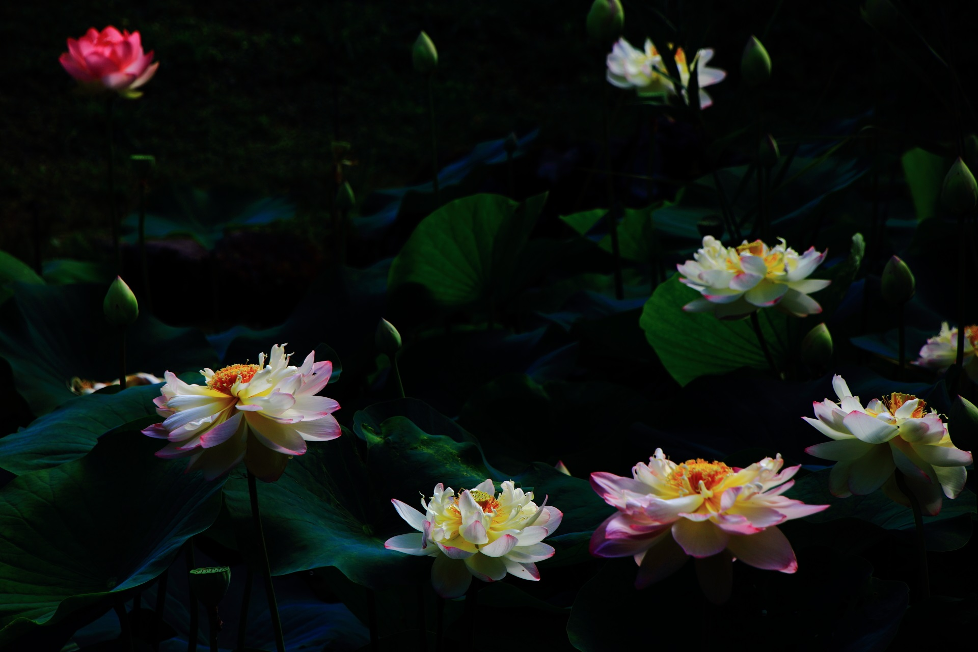 コントラスト強めの光る蓮の花