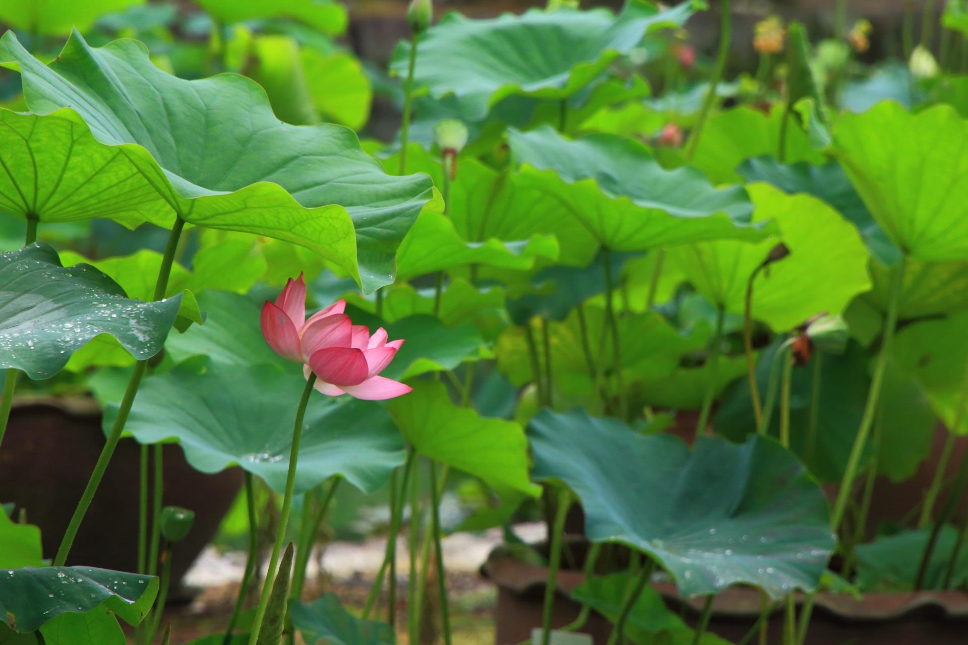 日傘をさしたような蓮の花