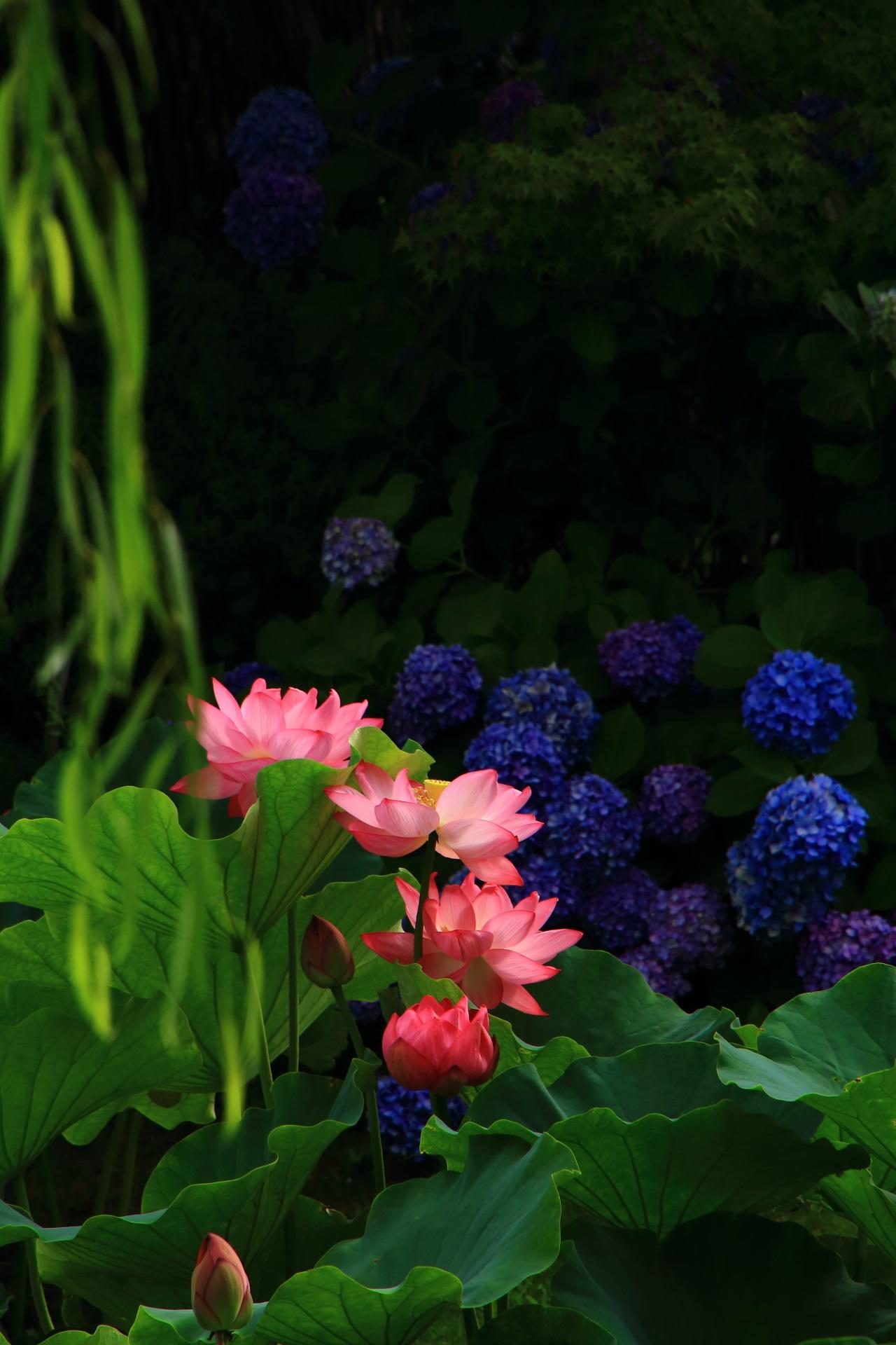 東寺の蓮と紫陽花とゆらゆらする柳のコラボ