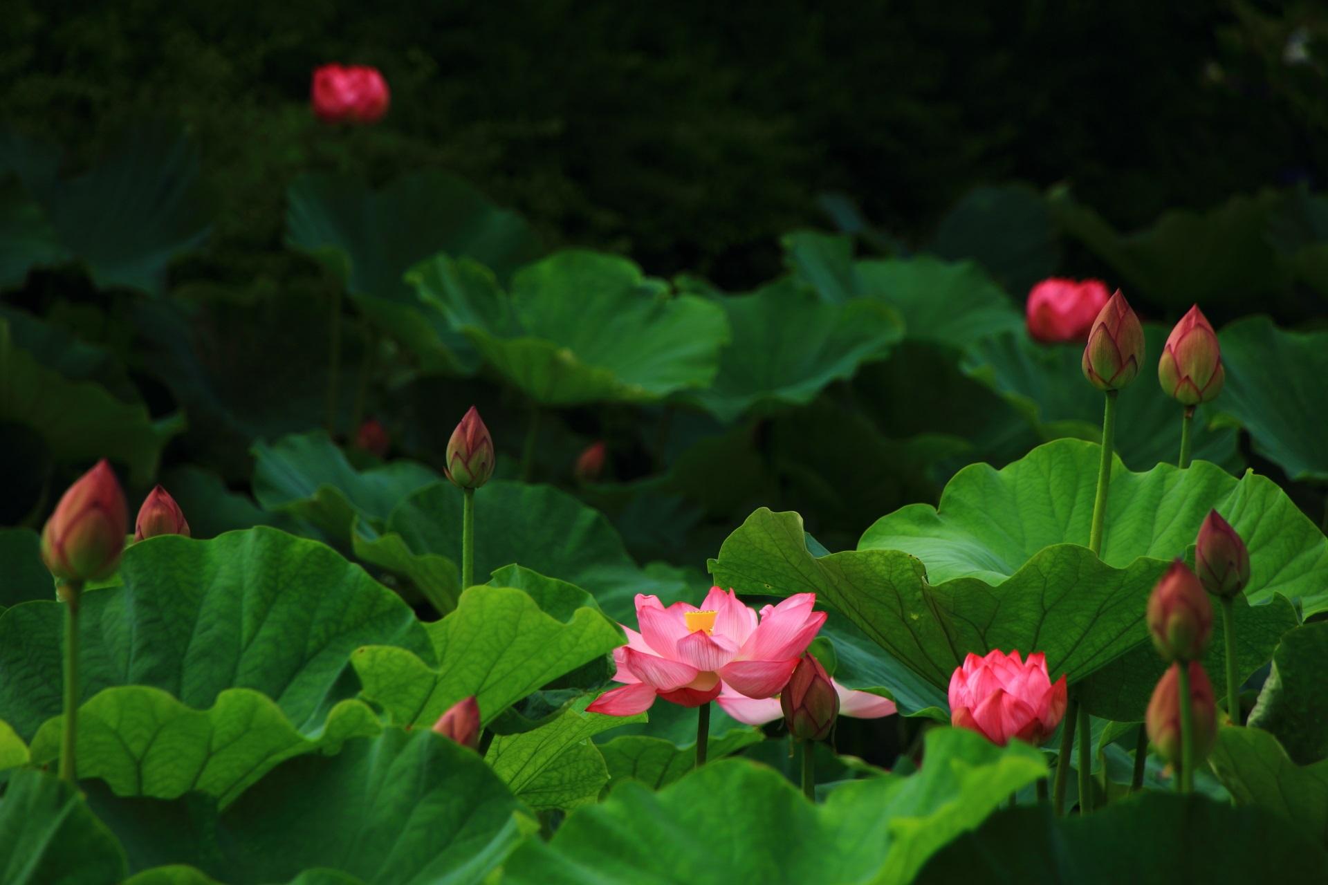 まだまだドンドン咲きそうな東寺の蓮