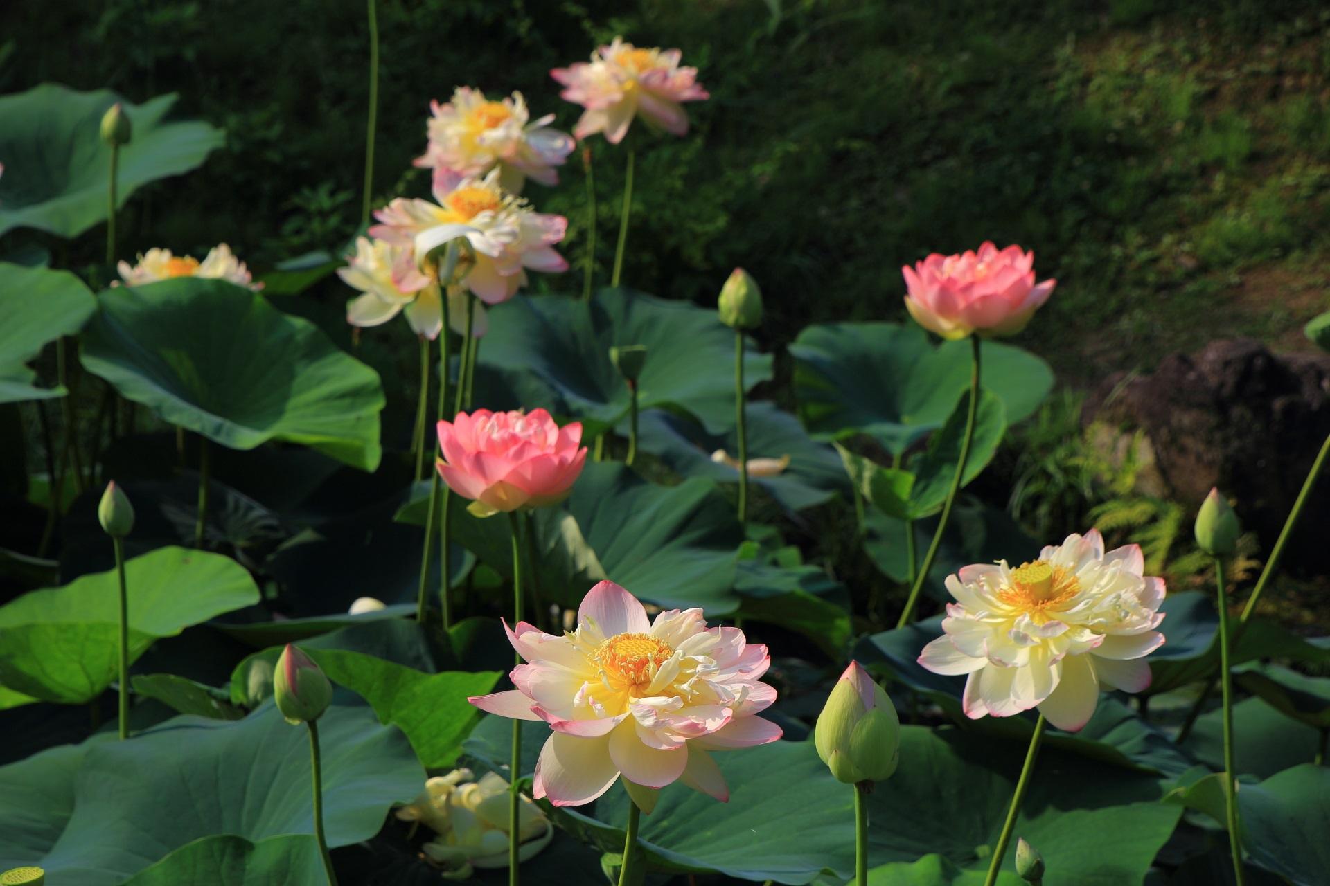 満開の蓮の花にそまった智積院(ちしゃくいん)