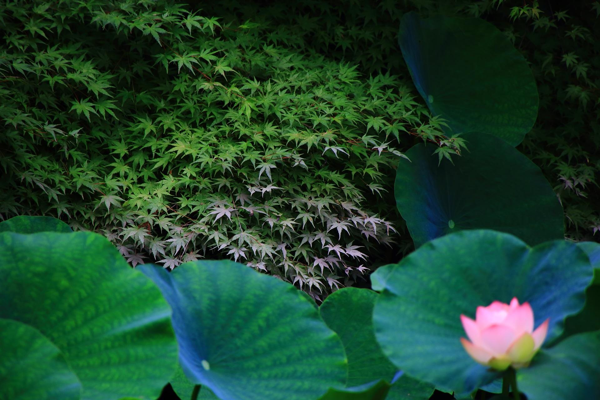 知恩院の蓮池の綺麗な青もみじや蓮の葉