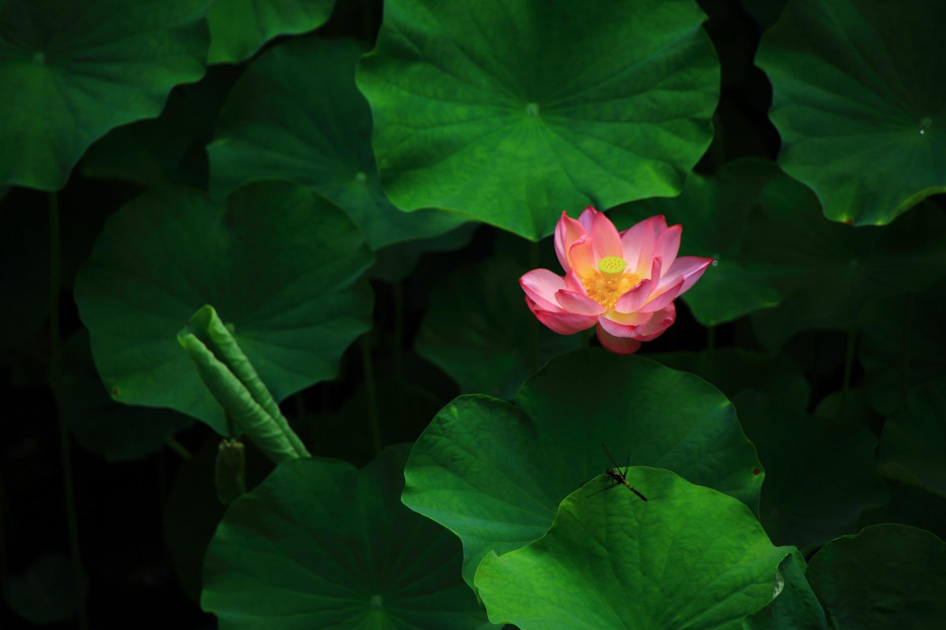 大谷本廟のハスの花と休憩するトンボ
