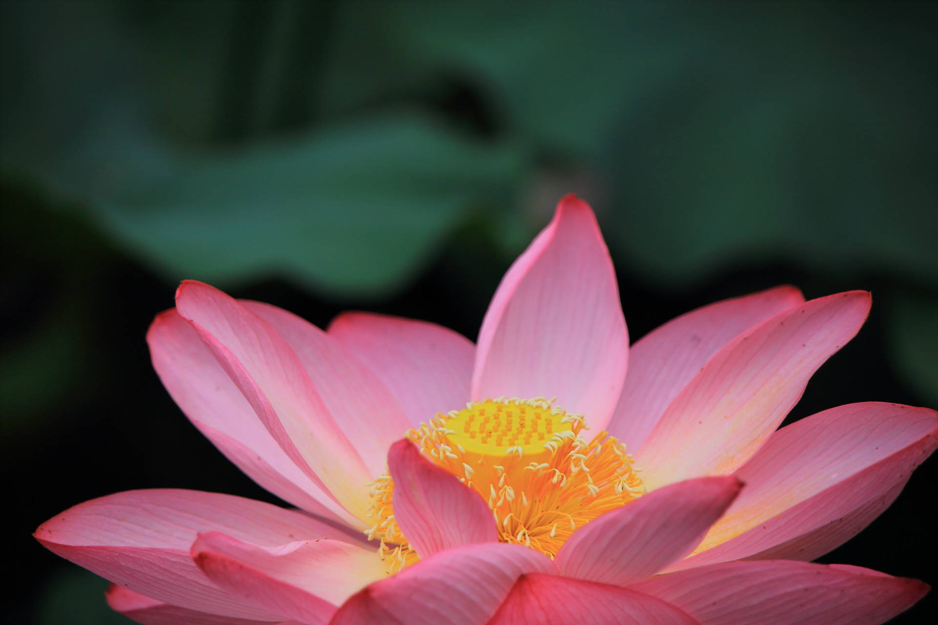 Beautiful lotus flower of Higashi-Honganji-Temple in Kyoto,Japan