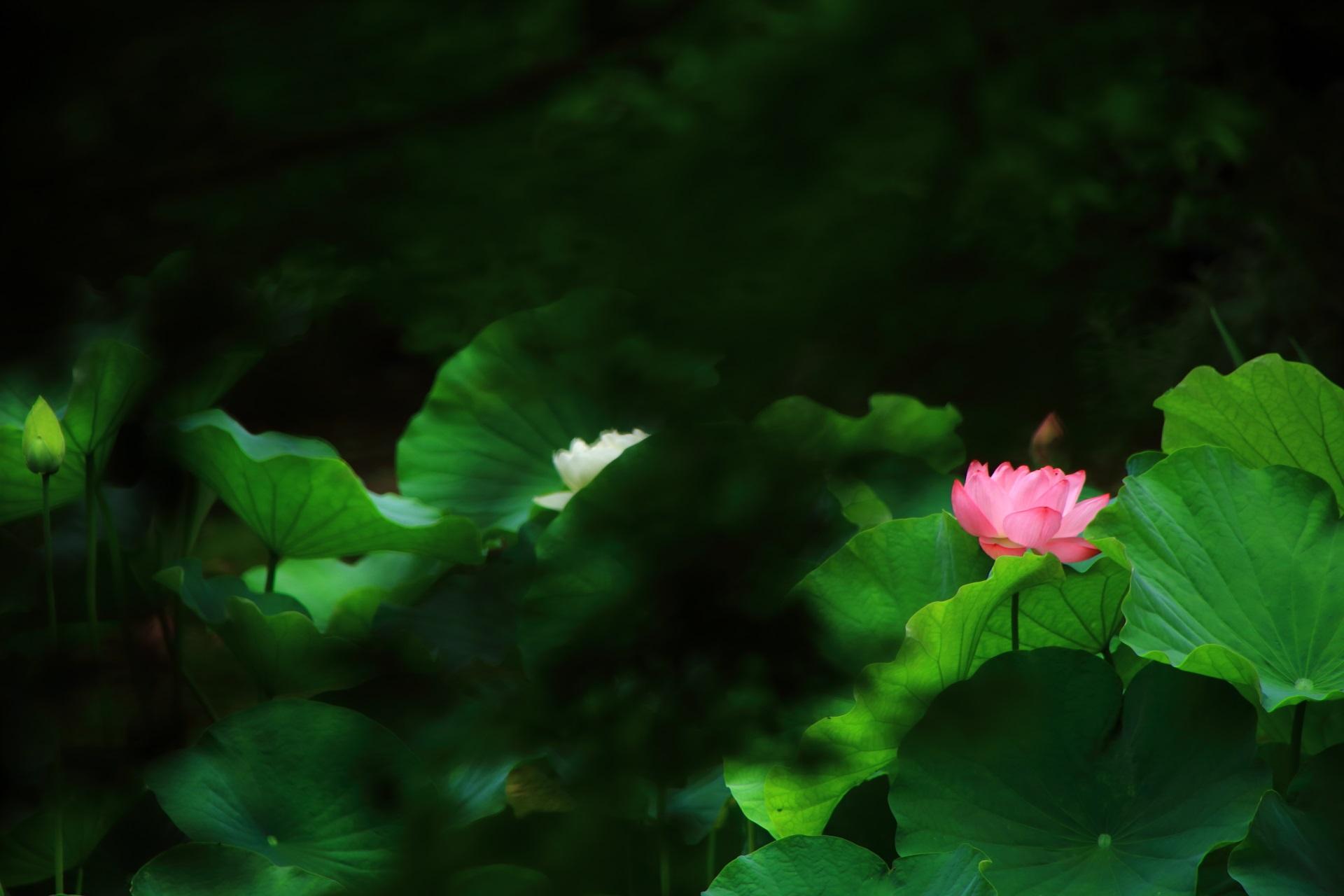 本法寺の青もみじ越しの蓮の花