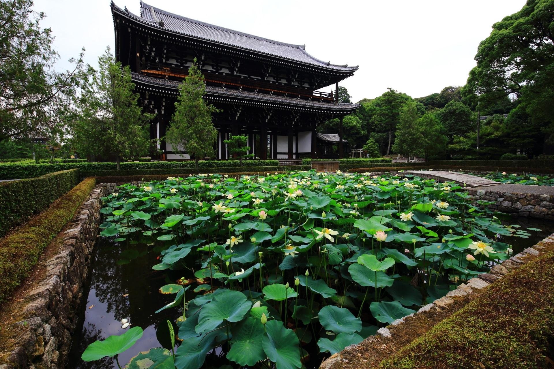 華やかな蓮の花が咲きそろう東福寺の思遠池と三門