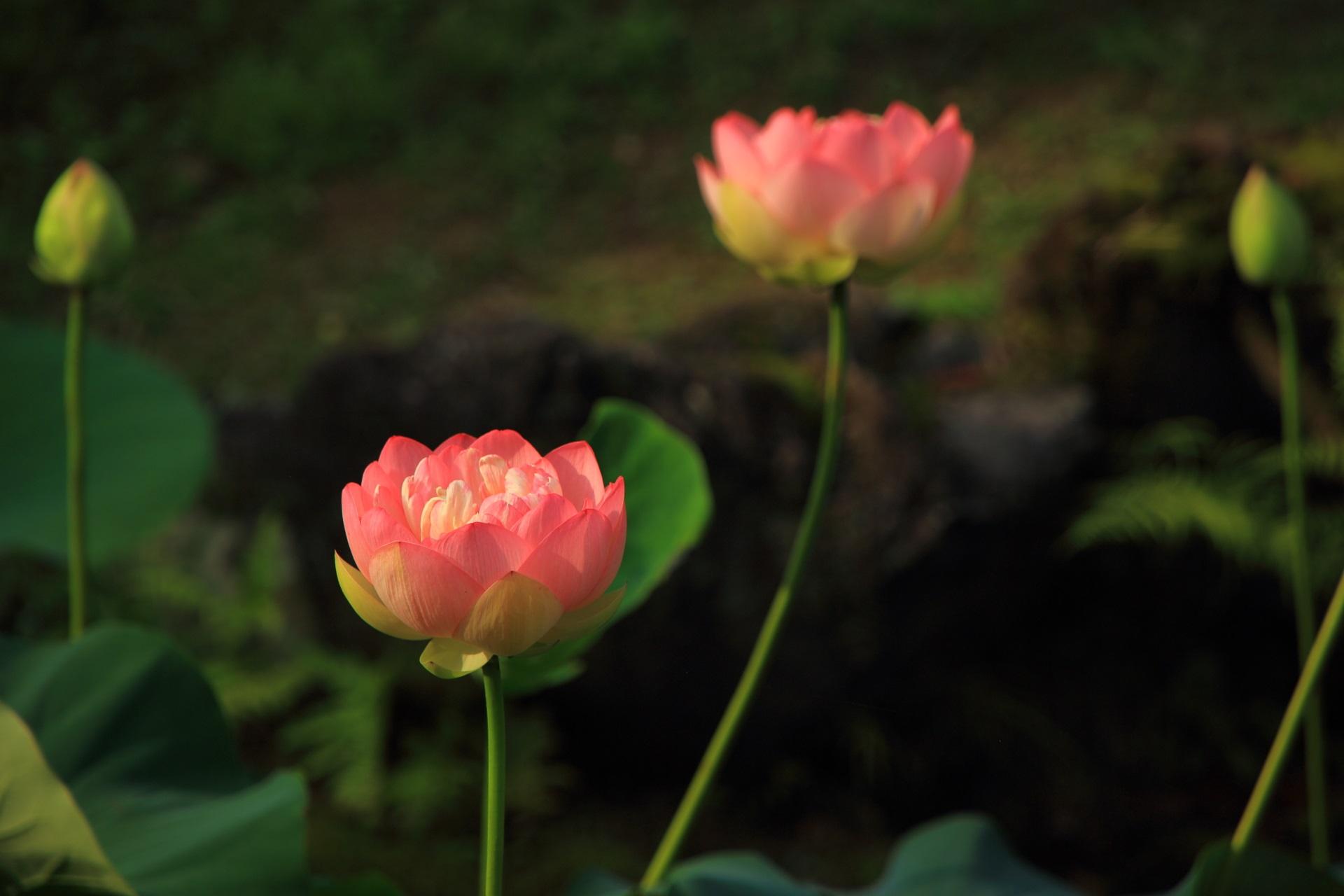 ほんのりと光るように咲く智積院のピンクのハス