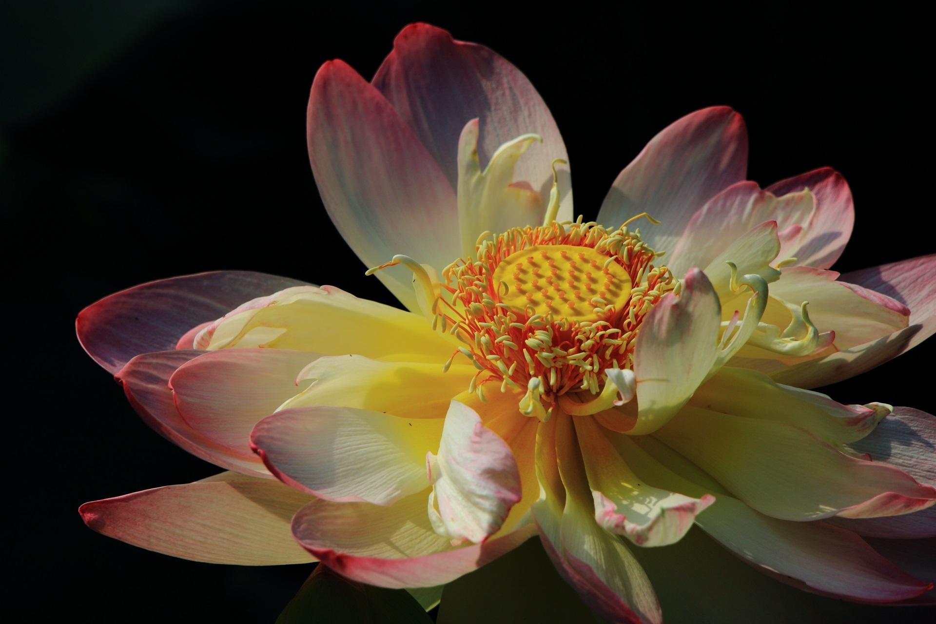 暗闇でくっきりと浮かび上がる蓮の花