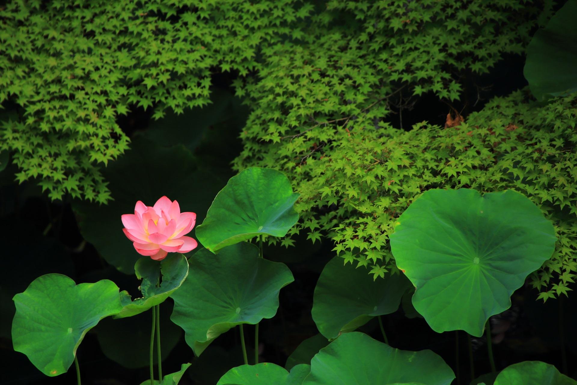 緑の中でアクセントになるピンクのハスの花