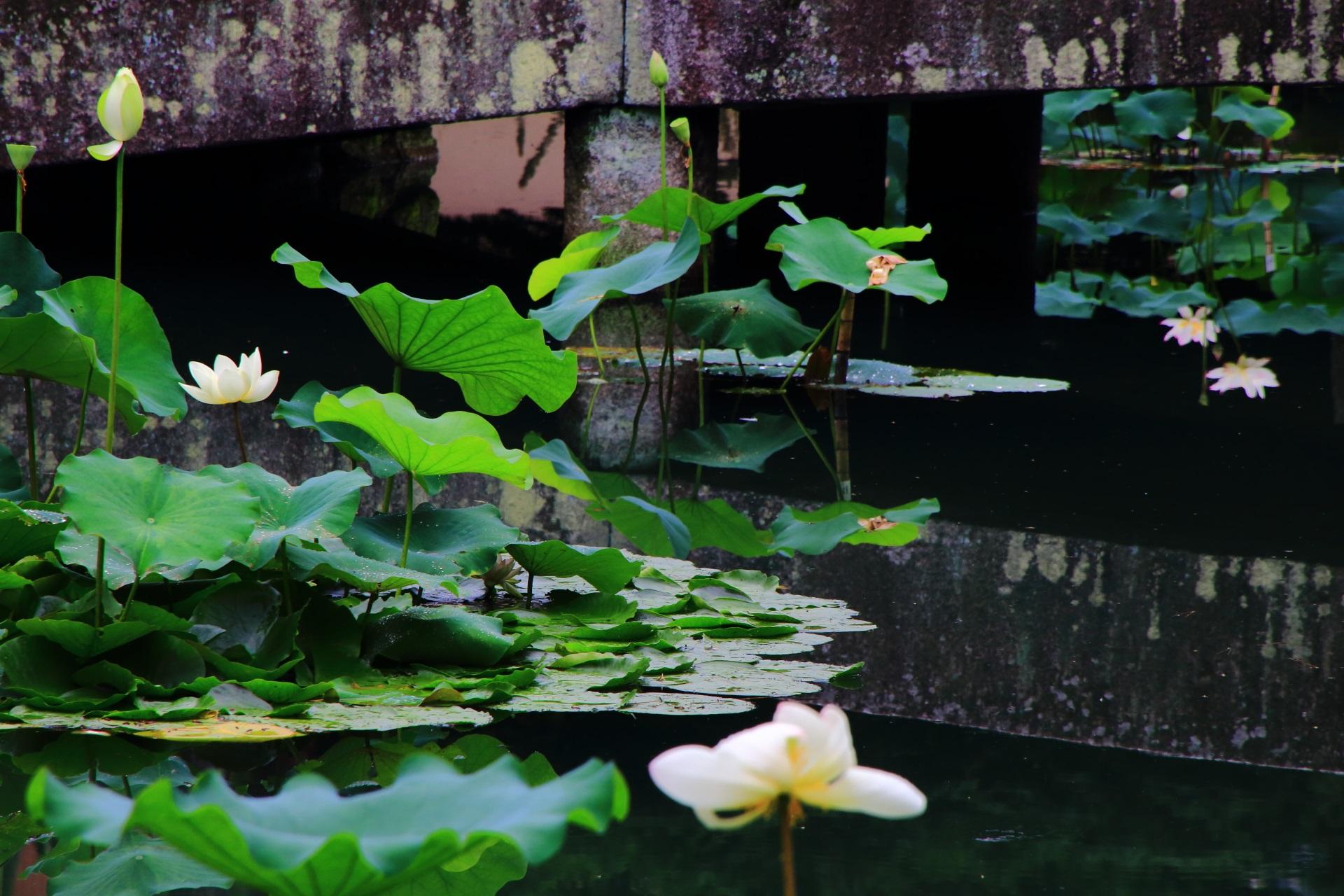 相国寺の綺麗な蓮の花の水鏡
