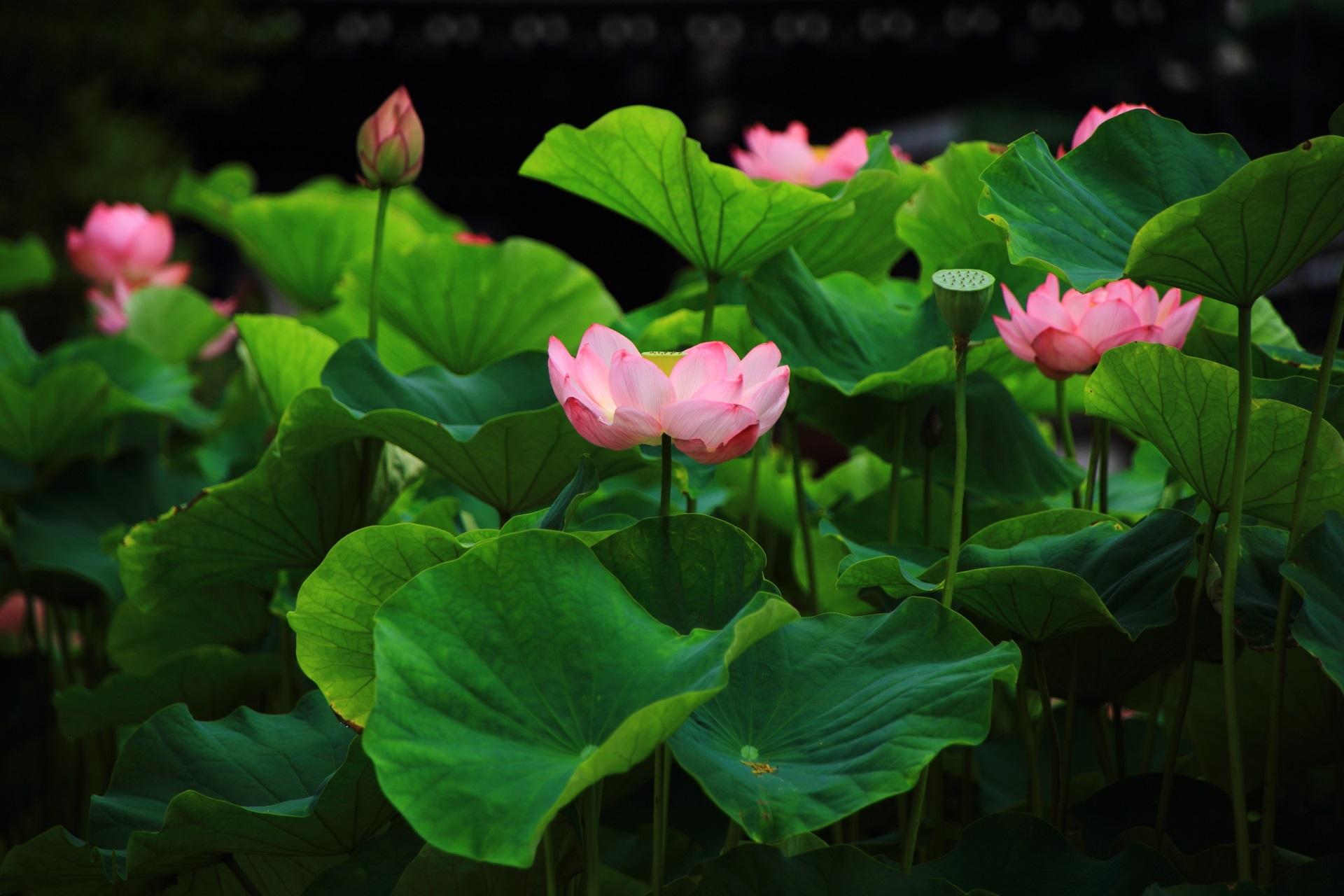 もうしばらく見ごろが続きそうな満開の蓮の花につつまれた大谷本廟