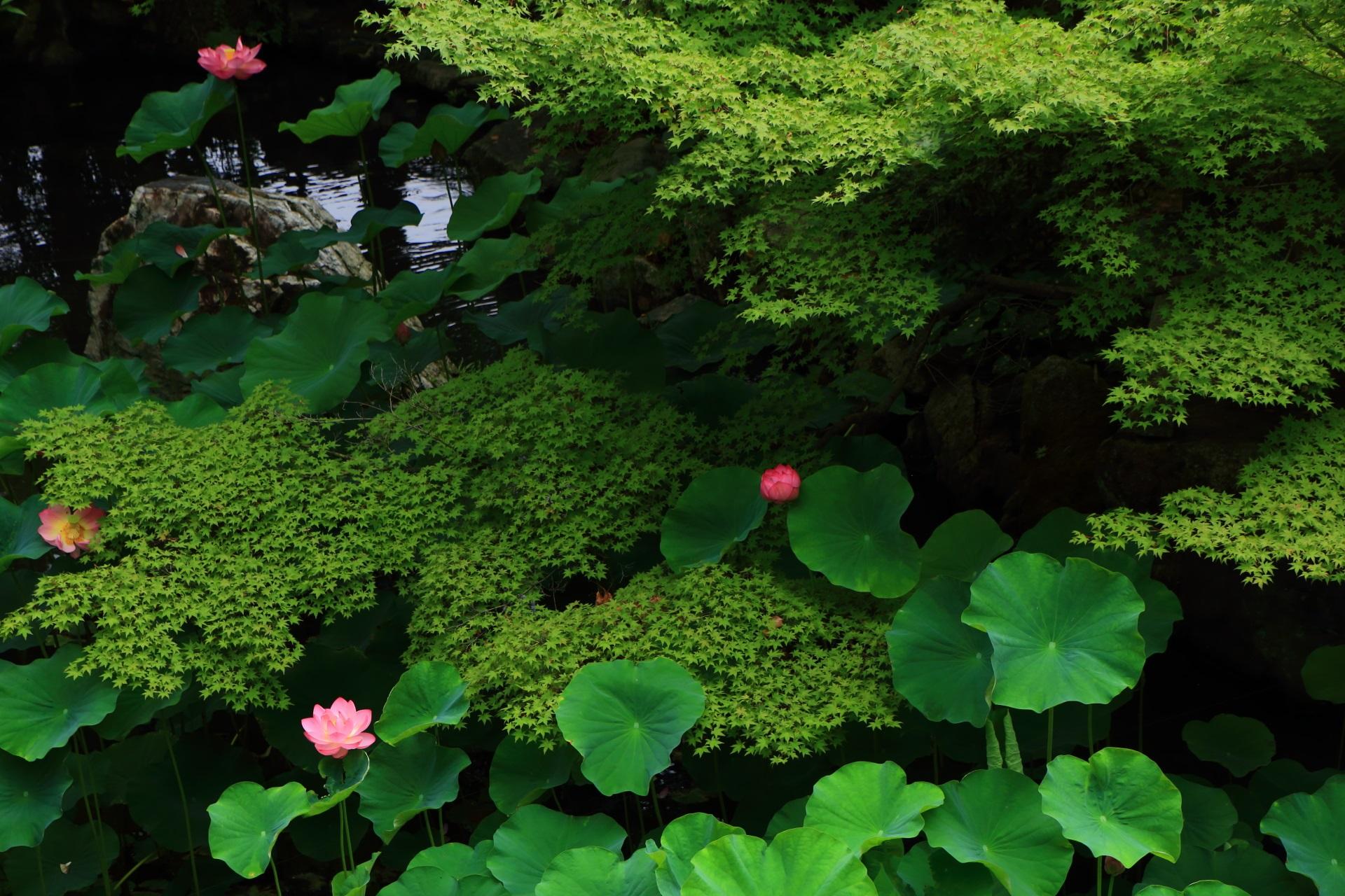 奥行きのある深い緑と華やかな蓮の花