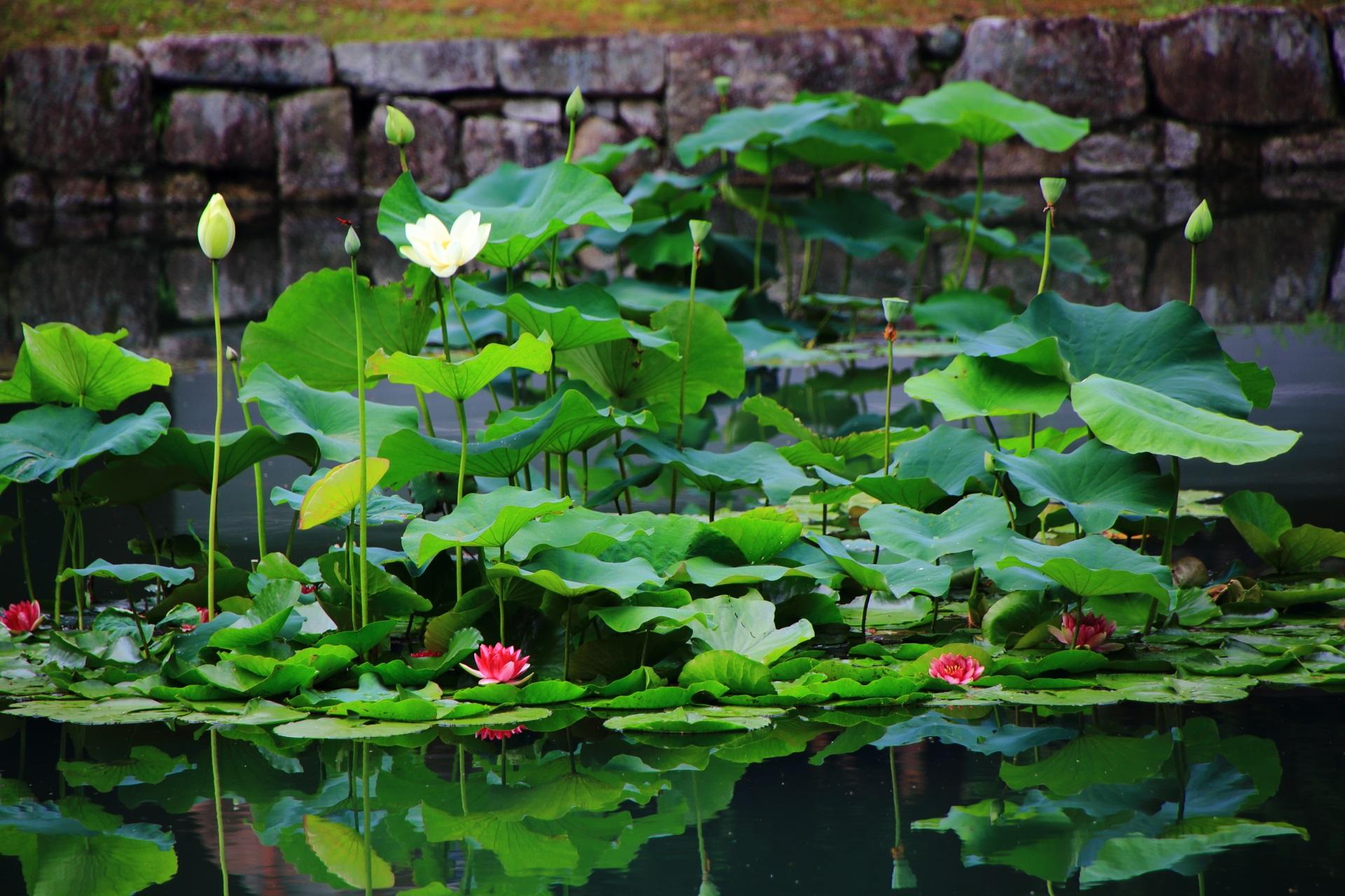 相国寺の蓮の花と睡蓮の花